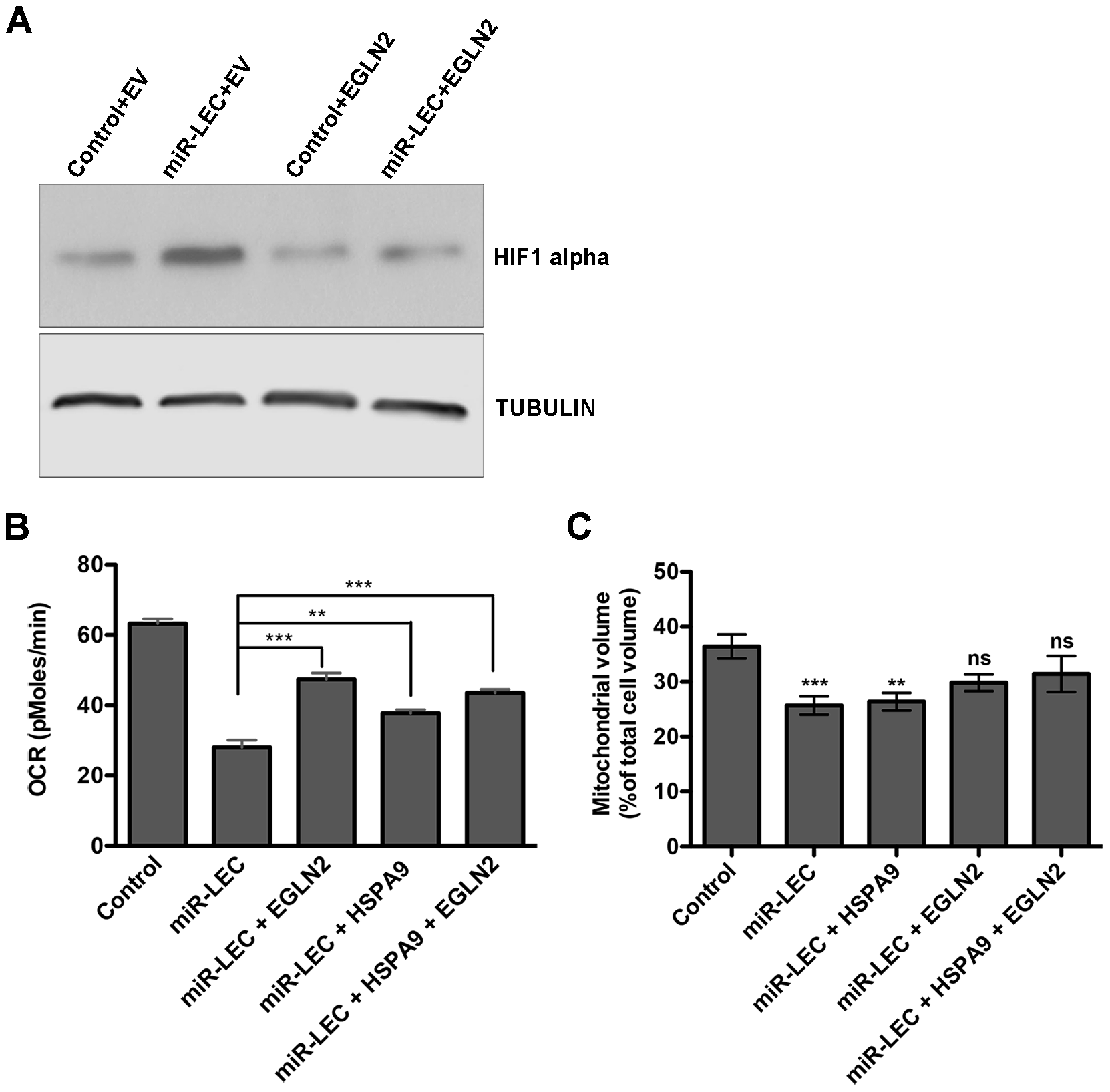 Overexpression of EGLN2 and HSPA9 partially rescues the miRNA cluster effect on glucose metabolism.