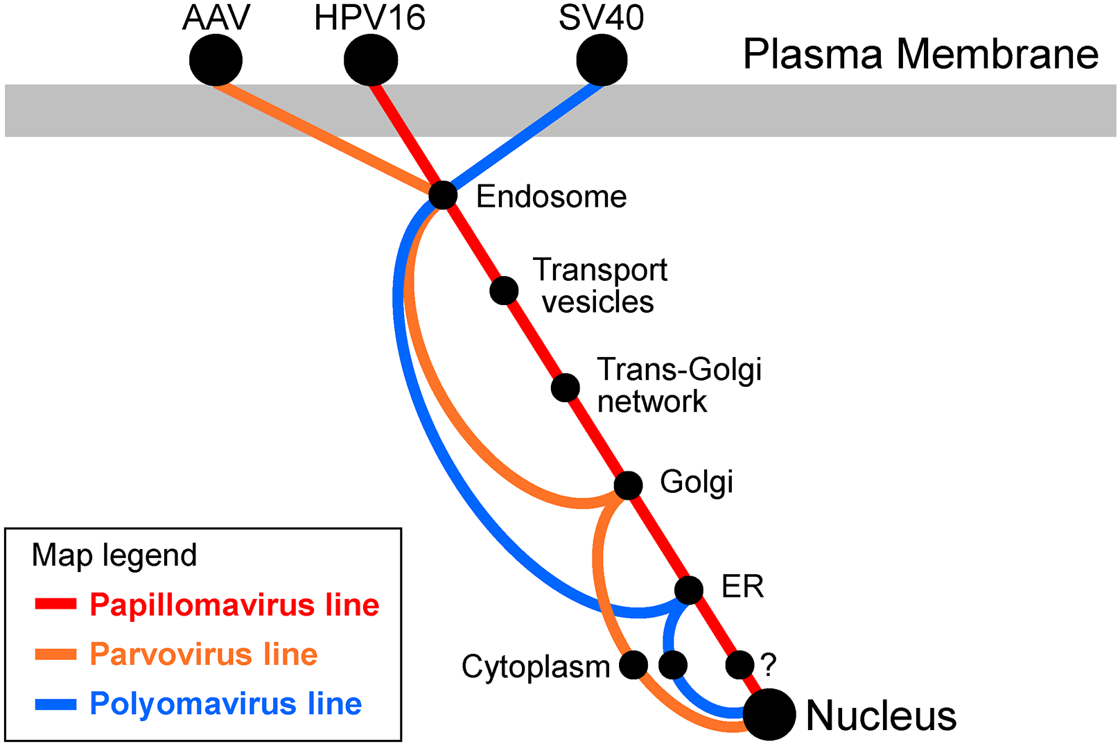 Transit pathways used by small DNA viruses.