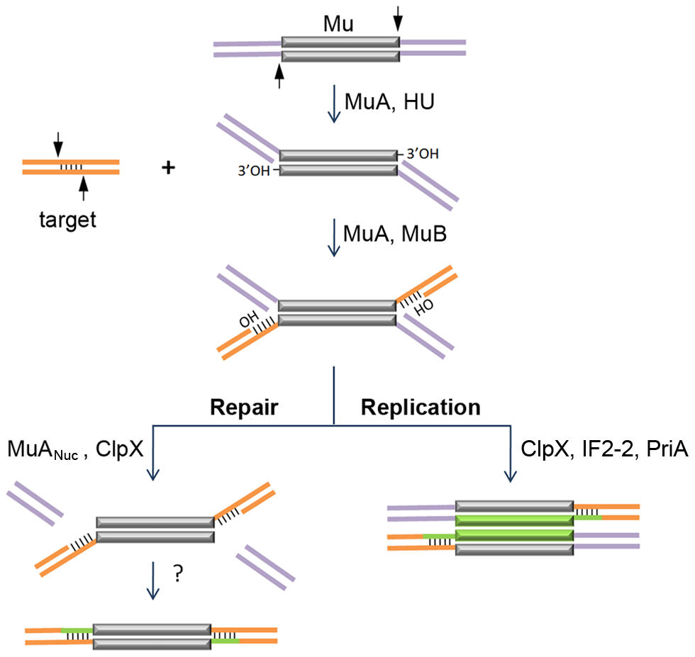 Known steps in replicative and non-replicative (repair) pathways of Mu transposition.