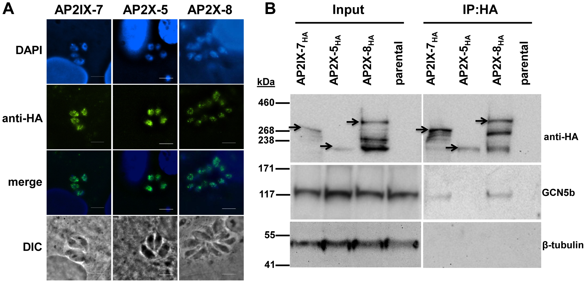 Reciprocal immunoprecipitation confirms the <i>in vivo</i> interaction of GCN5b with endogenously HA-tagged AP2IX-7 and AP2X-8.