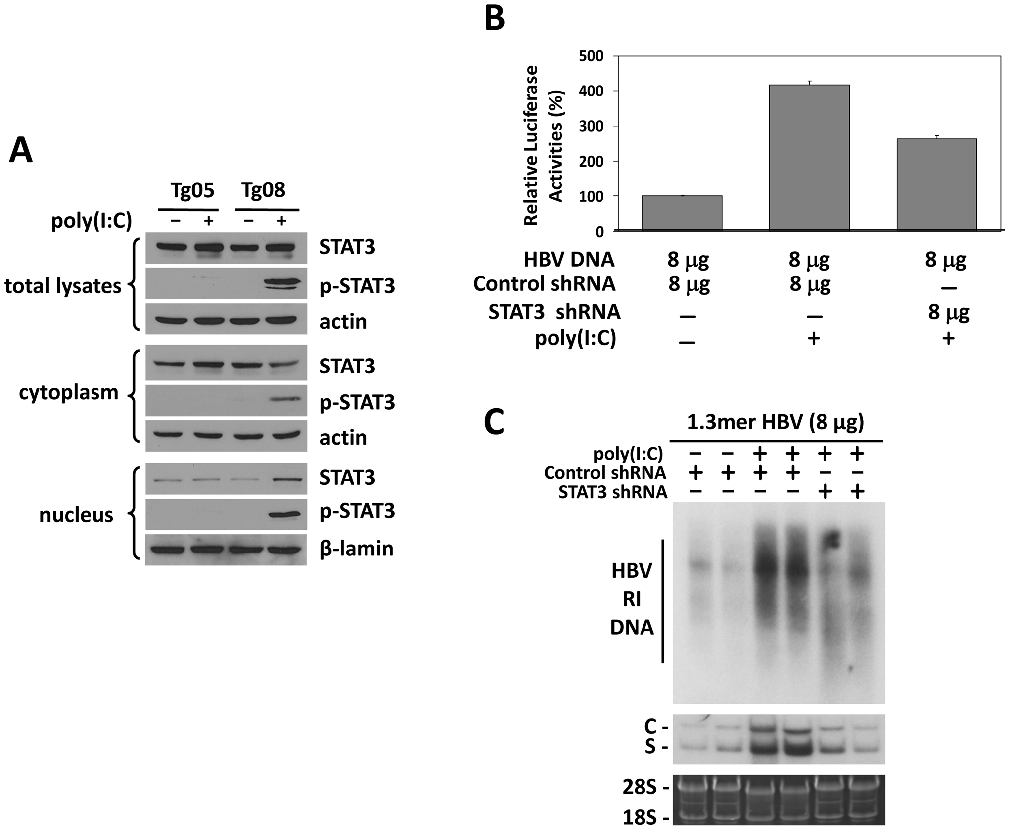 Analysis of STAT3 in HBV mice.