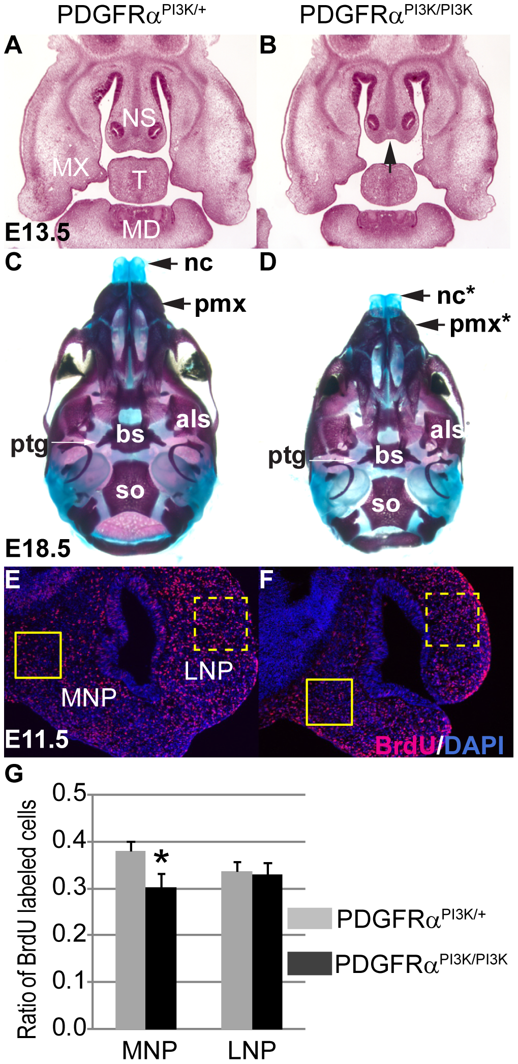 PI3K signaling mediates PDGFRα regulation on cell proliferation during MNP development.