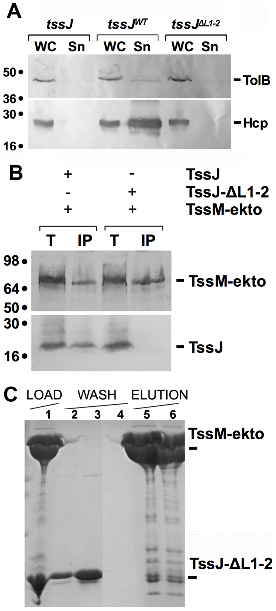 The L1-2 loop of TssJ is required for TssJ-TssM complex formation.