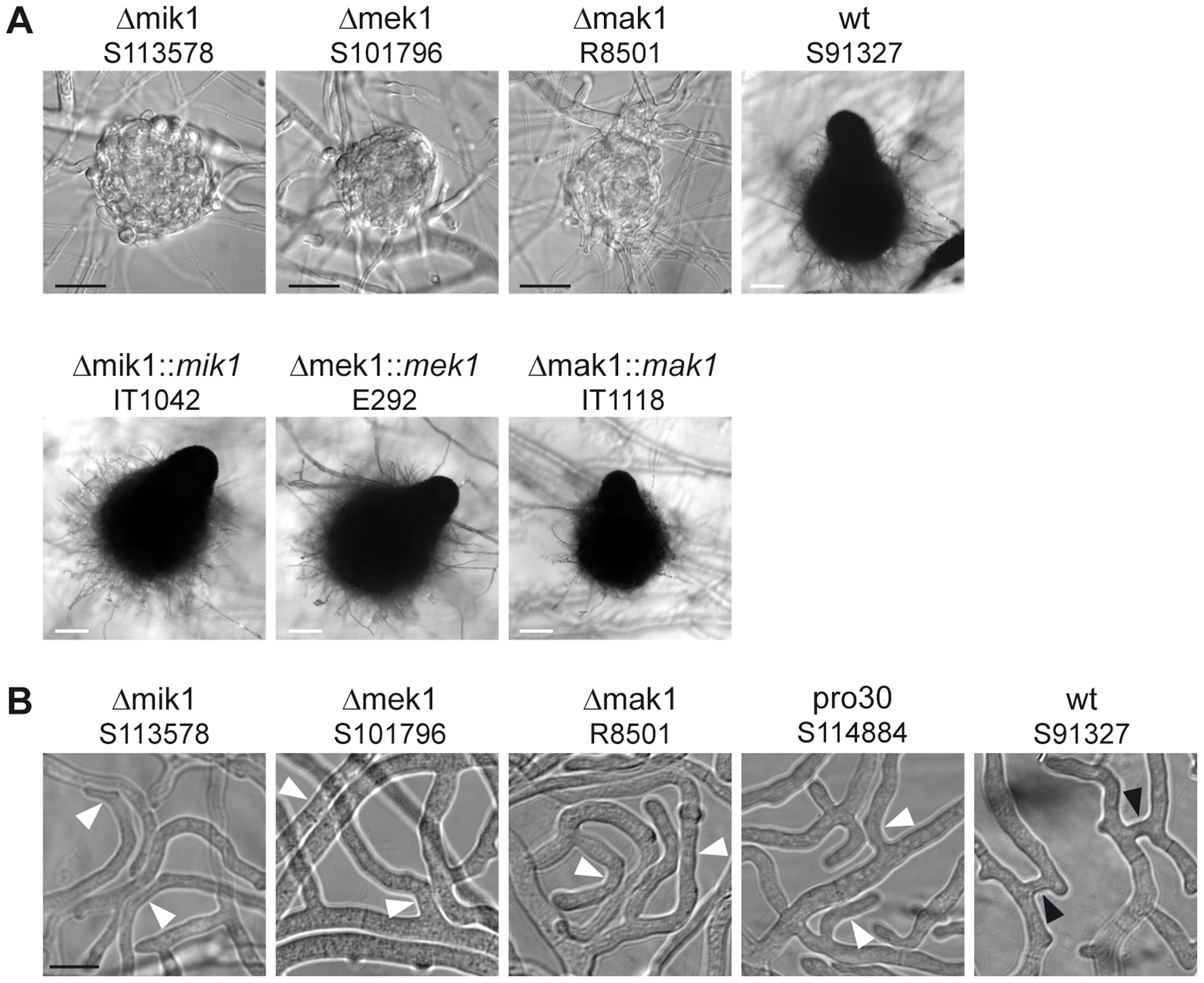 Phenotypic characterization of kinase deletion strains.