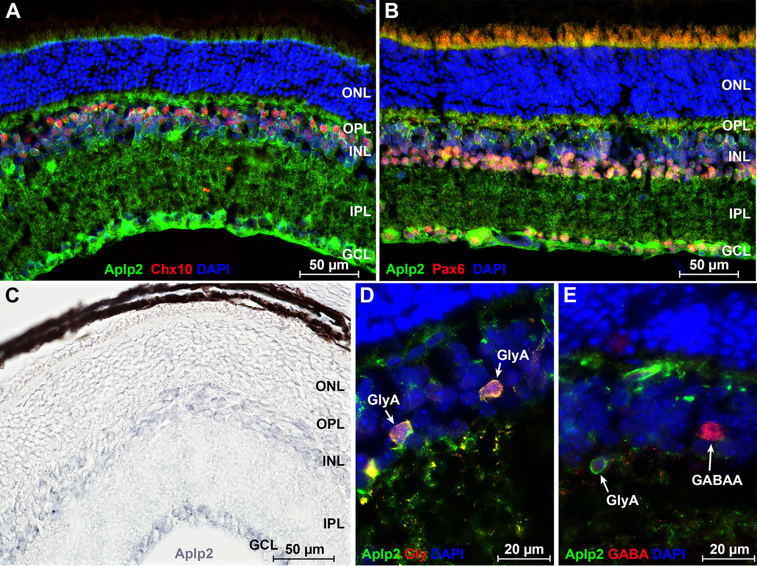 Analysis of <i>Aplp2</i> expression in the retina.