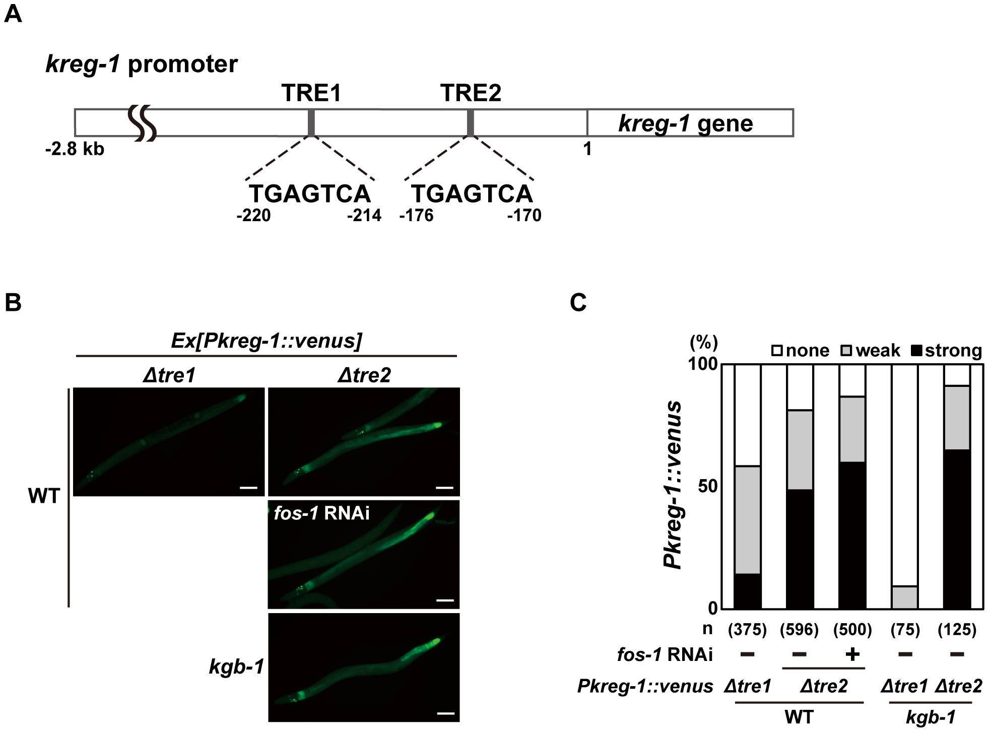 FOS-1 negatively regulates <i>kreg-1</i> expression via the TRE2 site.