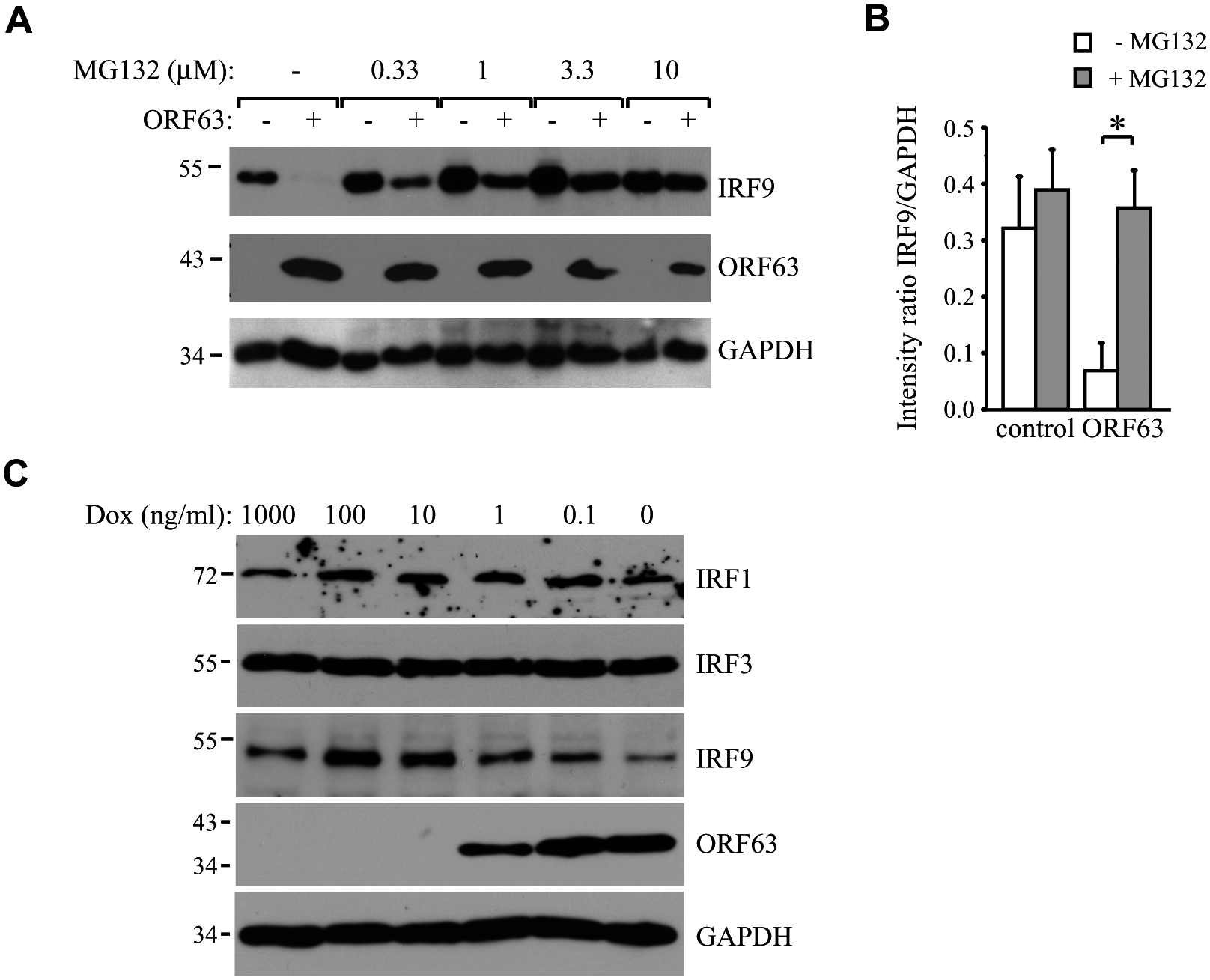 ORF63 induces proteasomal-degradation of IRF9, but does not affect IRF1 or IRF3.
