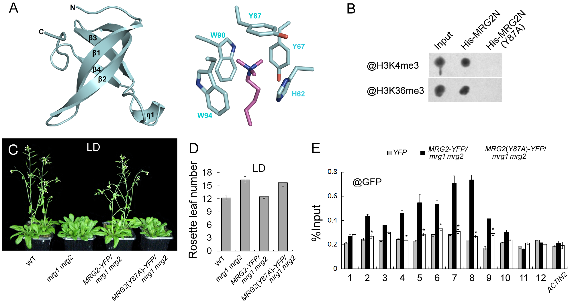 MRG1/2 binding to histone marks is required for their function in regulating flowering.