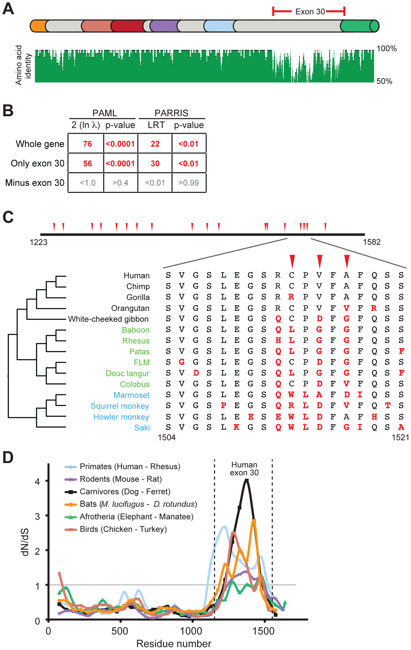Positive selection in primate <i>PARP4</i> is localized to exon 30.