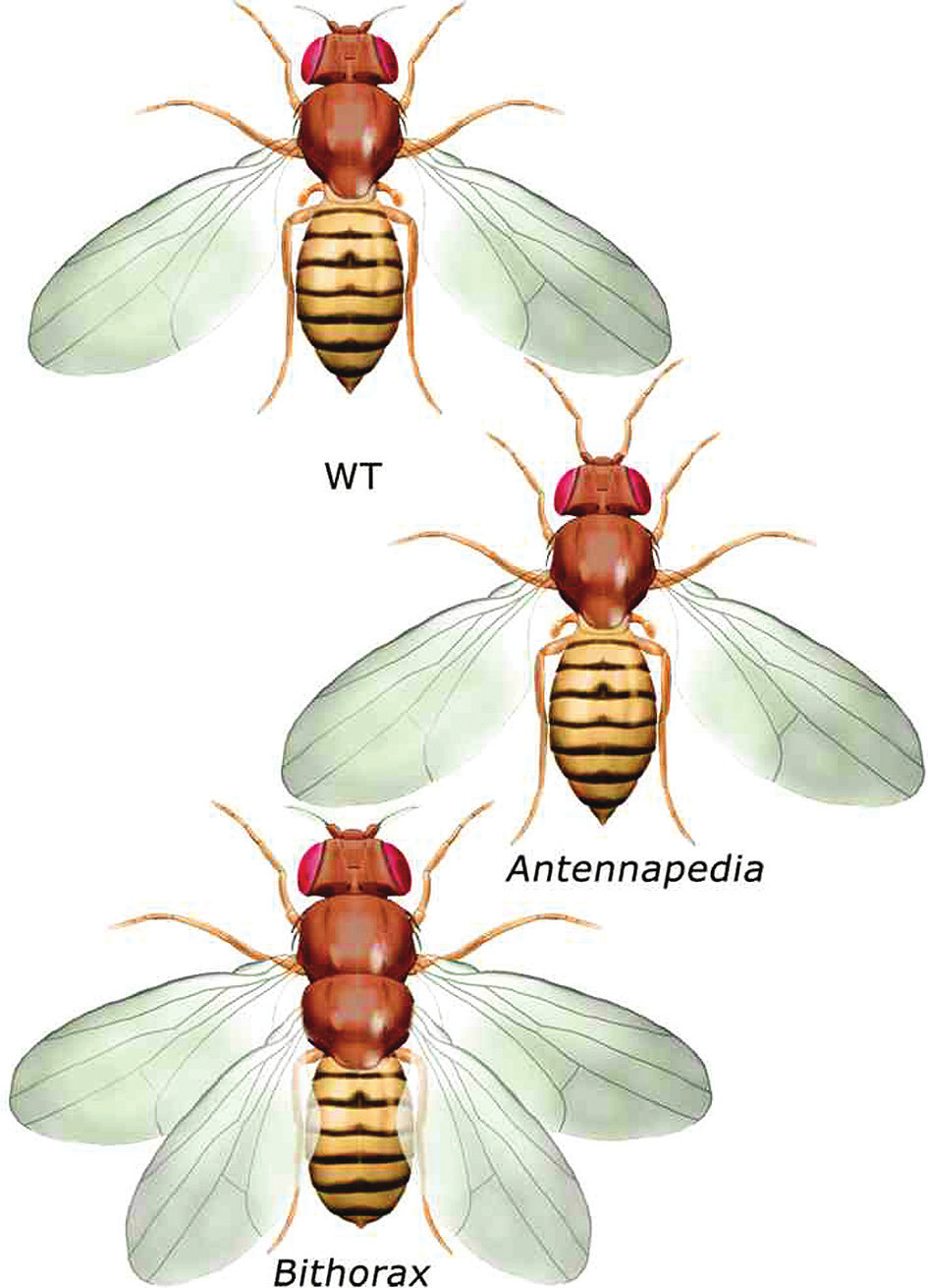 Antennapedia a bithorax mutace u Drosophily melanogaster Exprese genu Antennapedia posunutá kraniálněji, než je obvyklé, potlačí na hlavě vznik tykadla, místo tykadla se vytvoří nadpočetná končetina. Vyřazení genu Ultrabithorax z funkce vede k transformaci třetího hrudního segmentu, který nemá křídla, ve druhý hrudní segment s křídly.