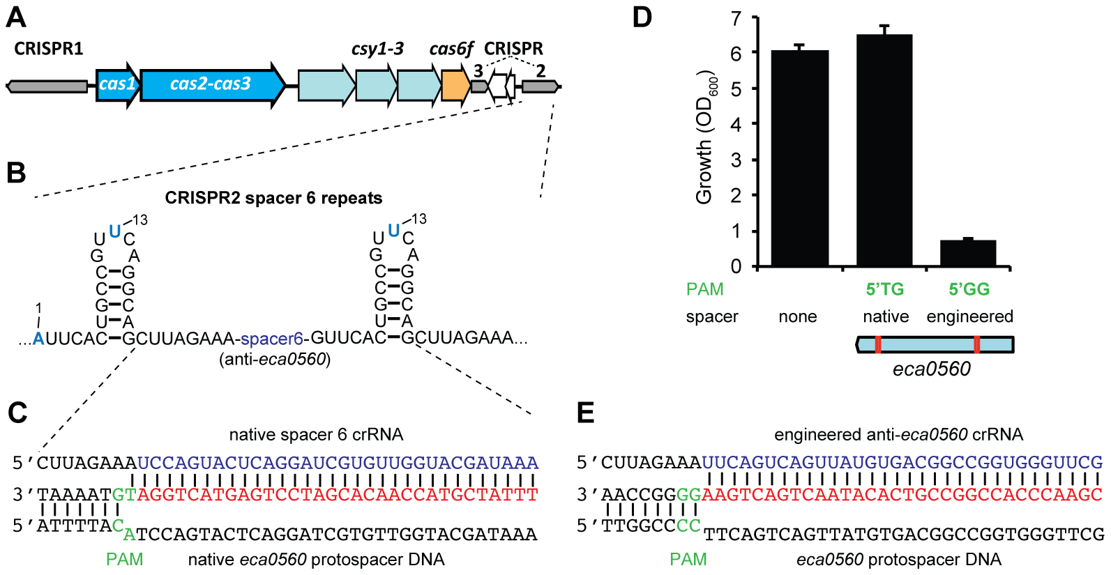 A single nucleotide PAM mutation enables escape from native CRISPR/Cas targeting.