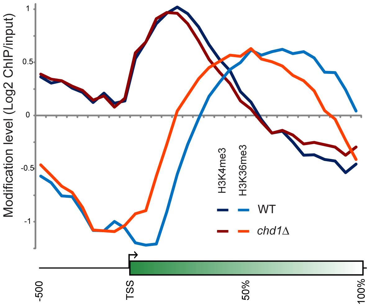 Chd1 effects on H3 methylation patterns.