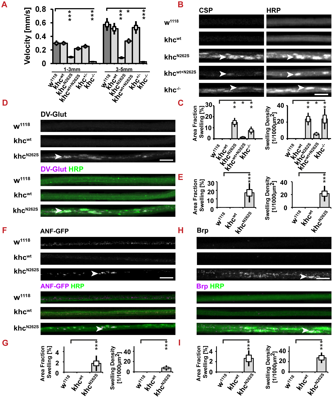 Analysis of larval locomotion and morphometric analysis of segmental nerves.