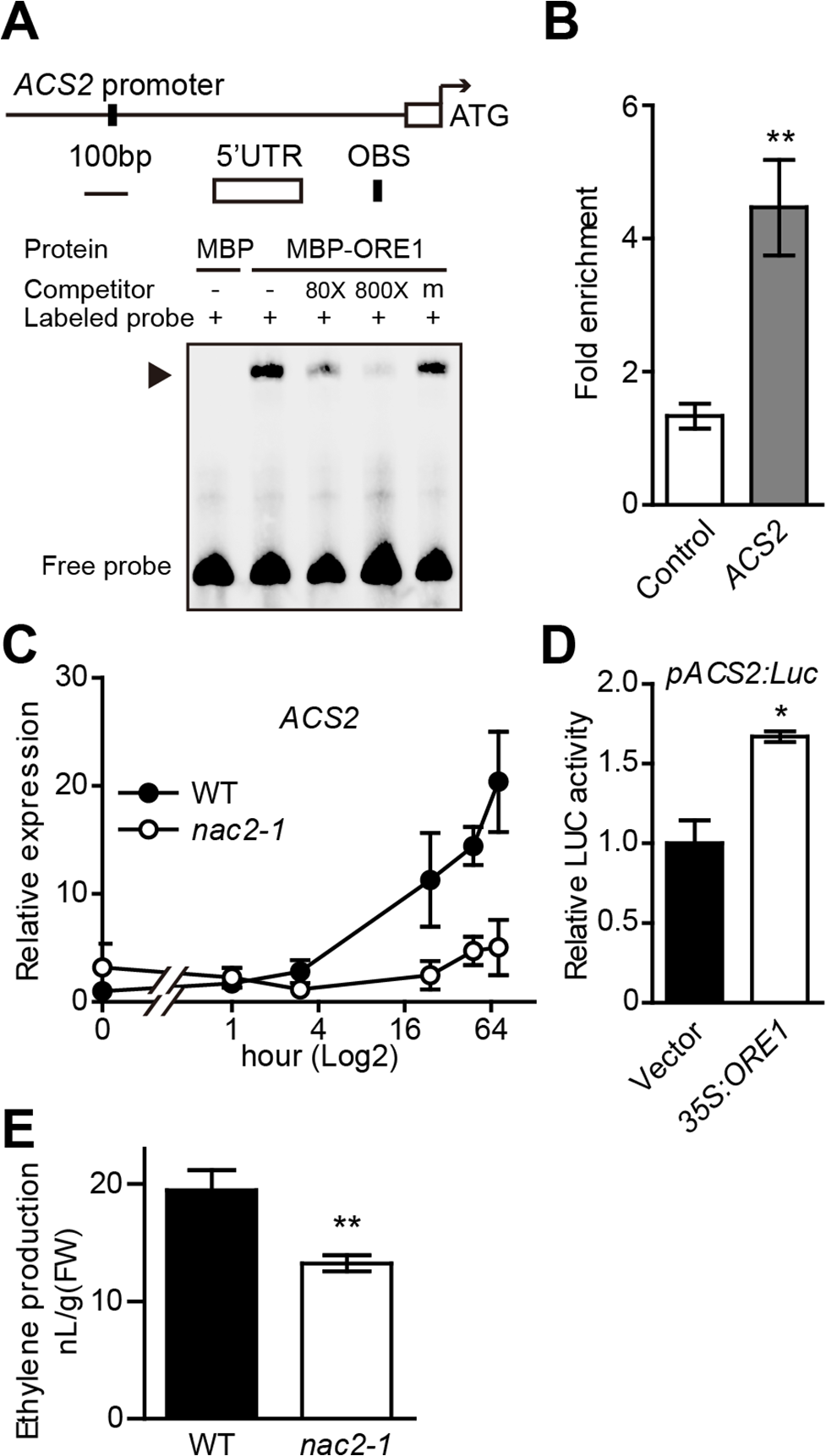ORE1 is associated with <i>ACS2</i> promoter and transcriptionally activates its expression.
