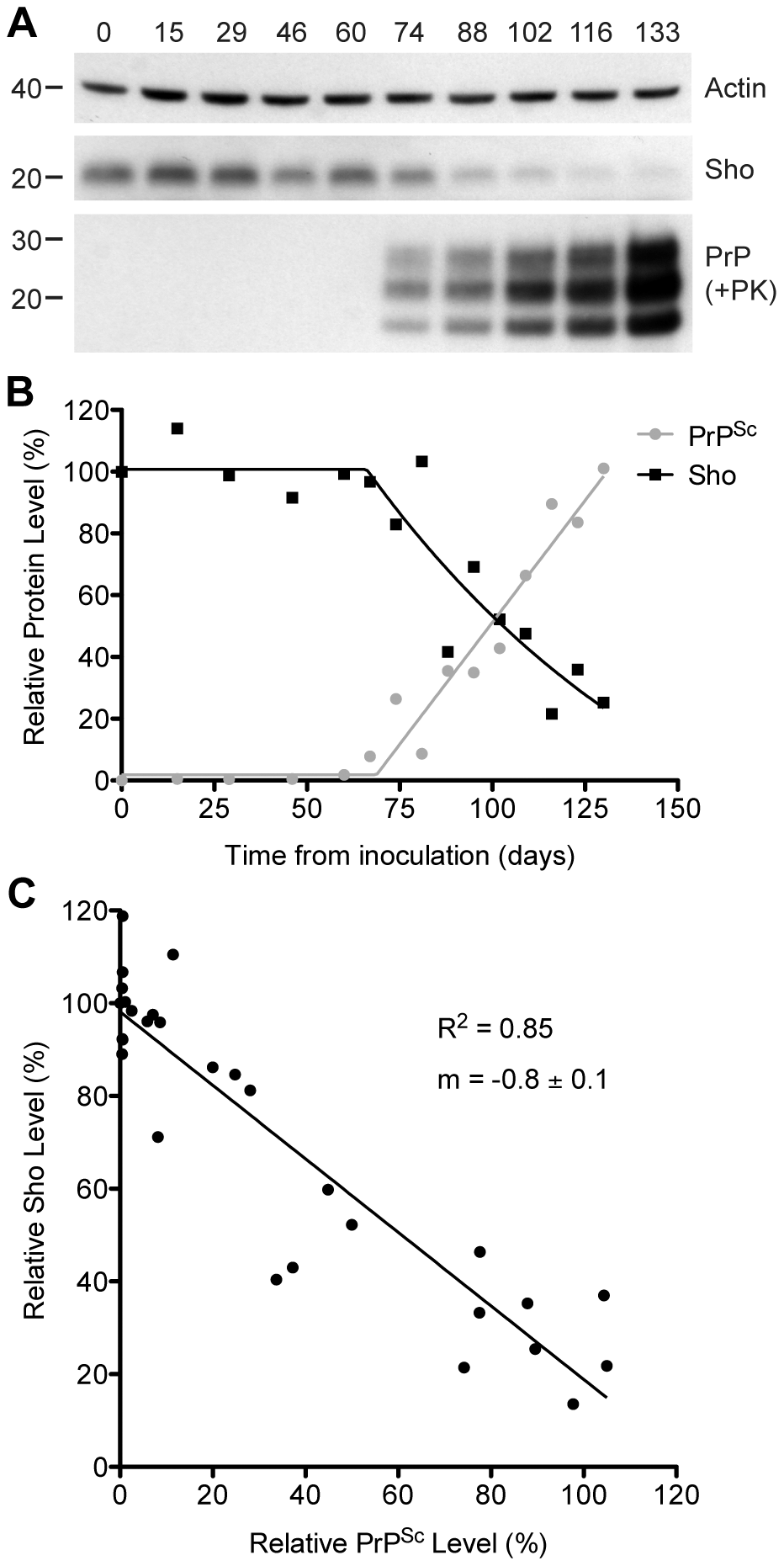Inverse relationship between Sho and PrP<sup>Sc</sup> levels during prion disease in mice.