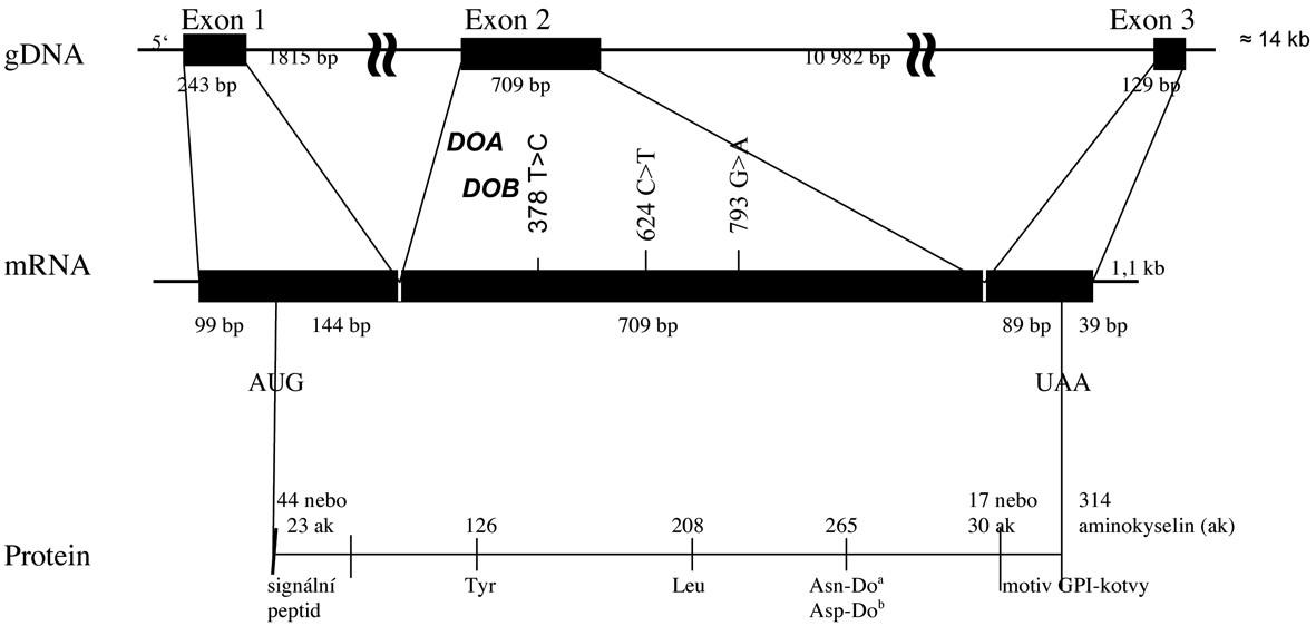 Diagram DO genu a Do glykoproteinu.