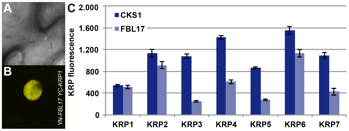 Interaction of FBL17 with KRPs in BiFC assays and degradation promotion of KRP <i>in vivo</i>.