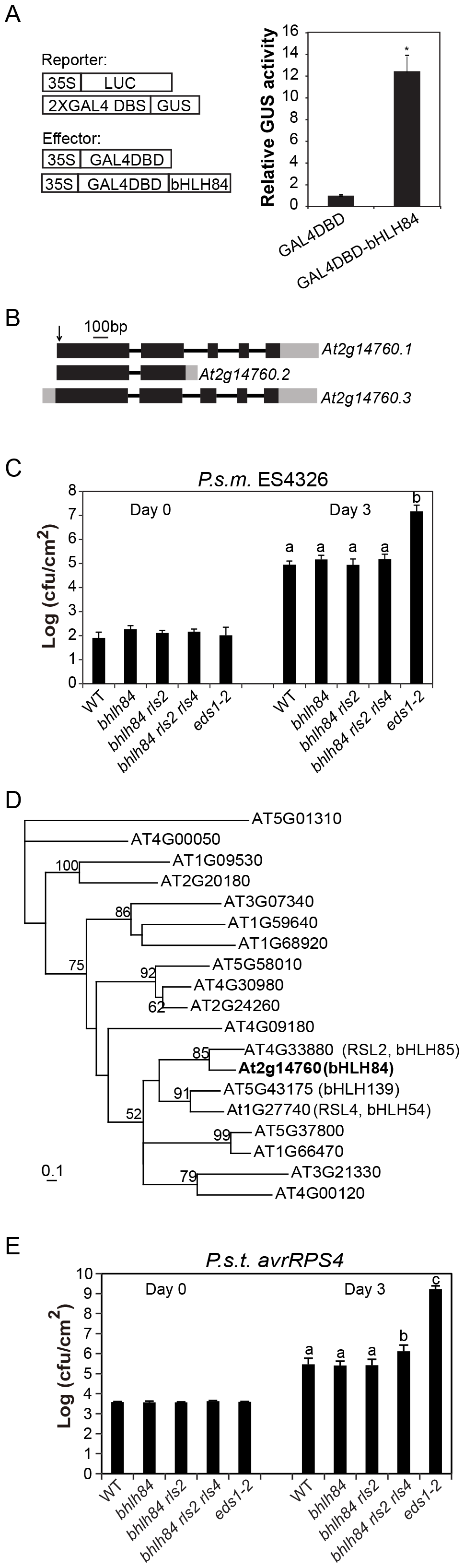 Mutant analysis of transcriptional activator <i>bHLH84</i> and its paralogs.