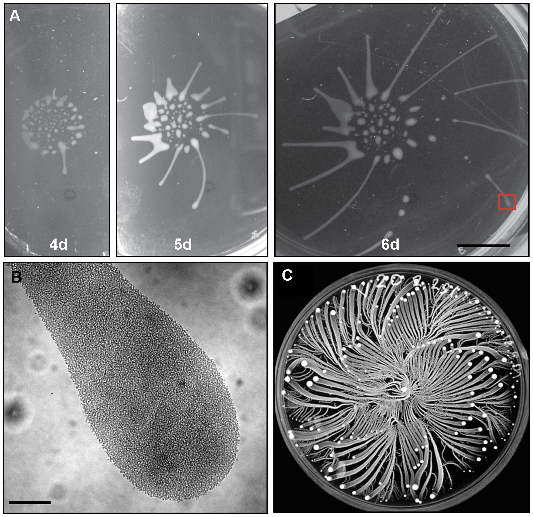 <i>T. brucei</i> social motility results in polarized migration outward from the site of inoculation.