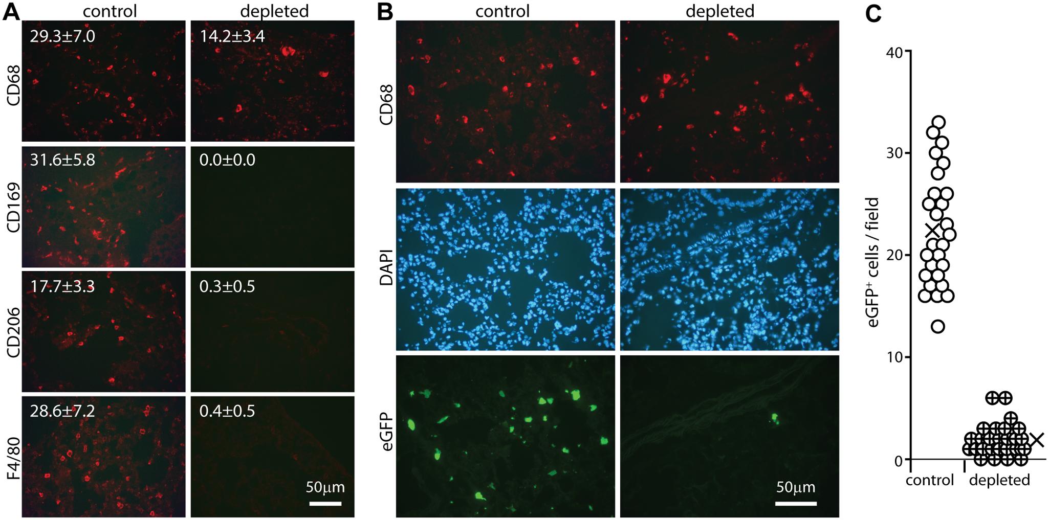 Effect of macrophage depletion on host entry.