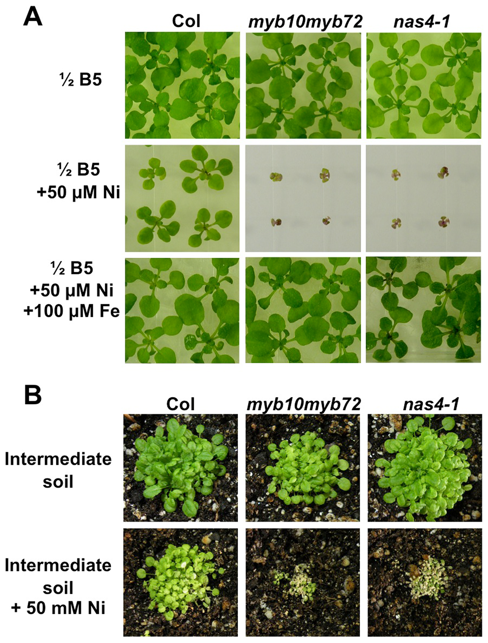 <i>myb10myb72</i> and <i>nas4-1</i> mutants are sensitive to excess nickel.
