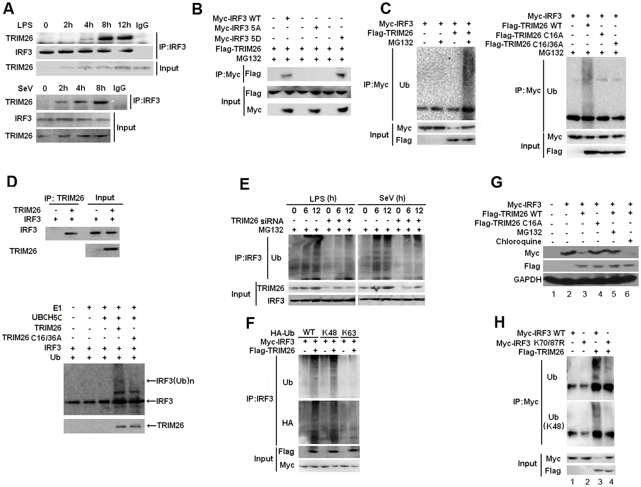 TRIM26 promotes IRF3 ubiquitination and proteasomal degradation.