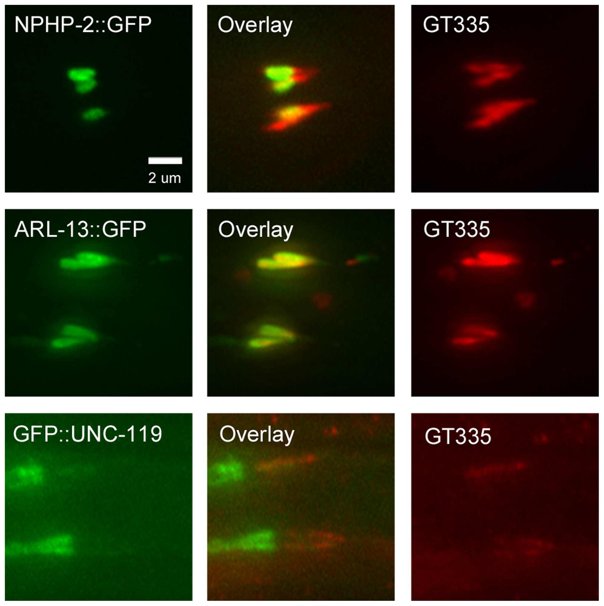 NPHP-2::GFP, ARL-13::GFP, and GFP::UNC-119 colabel with GT335 staining.