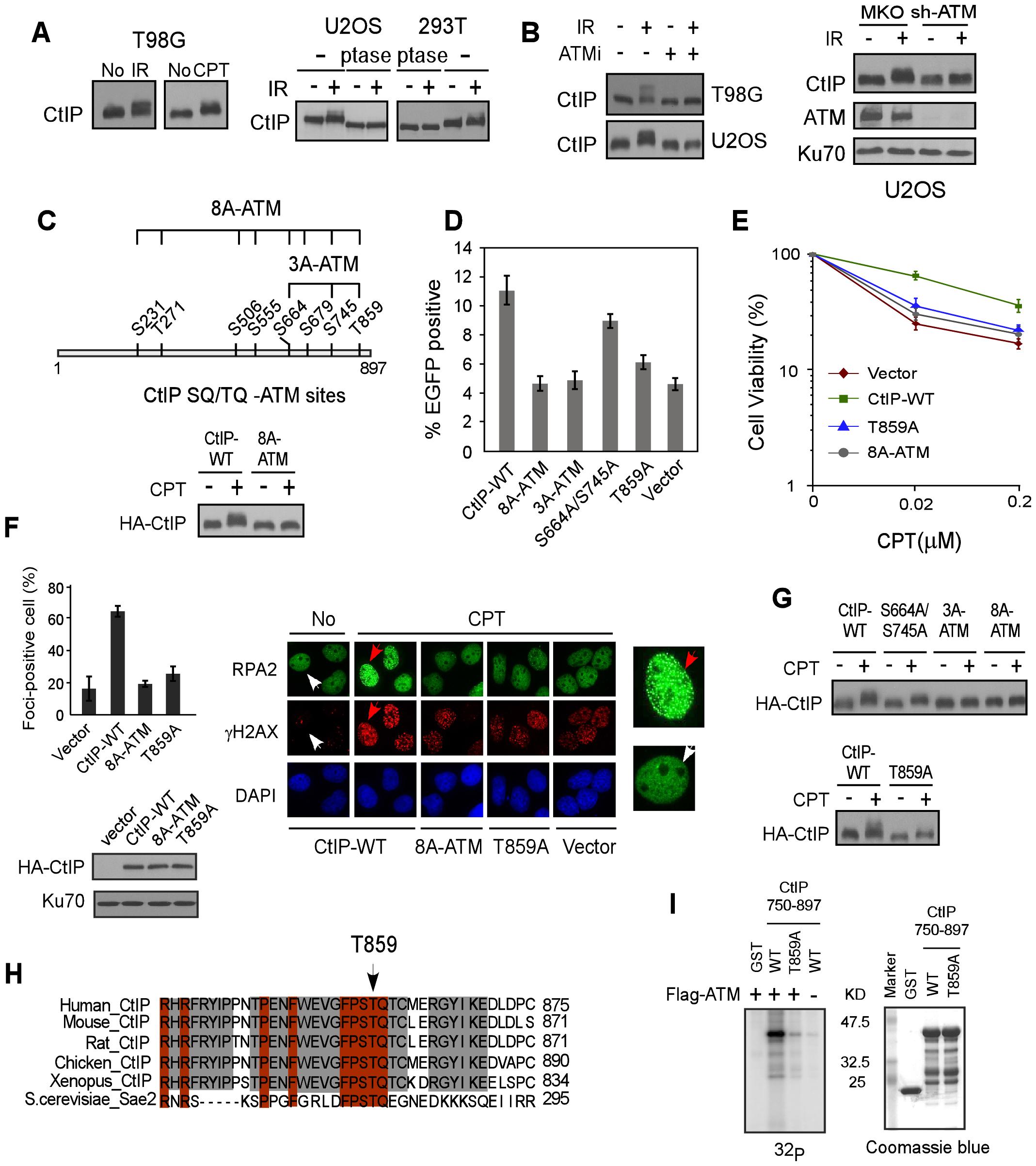 ATM is important for CtIP hyper-phosphorylation after DNA damage.