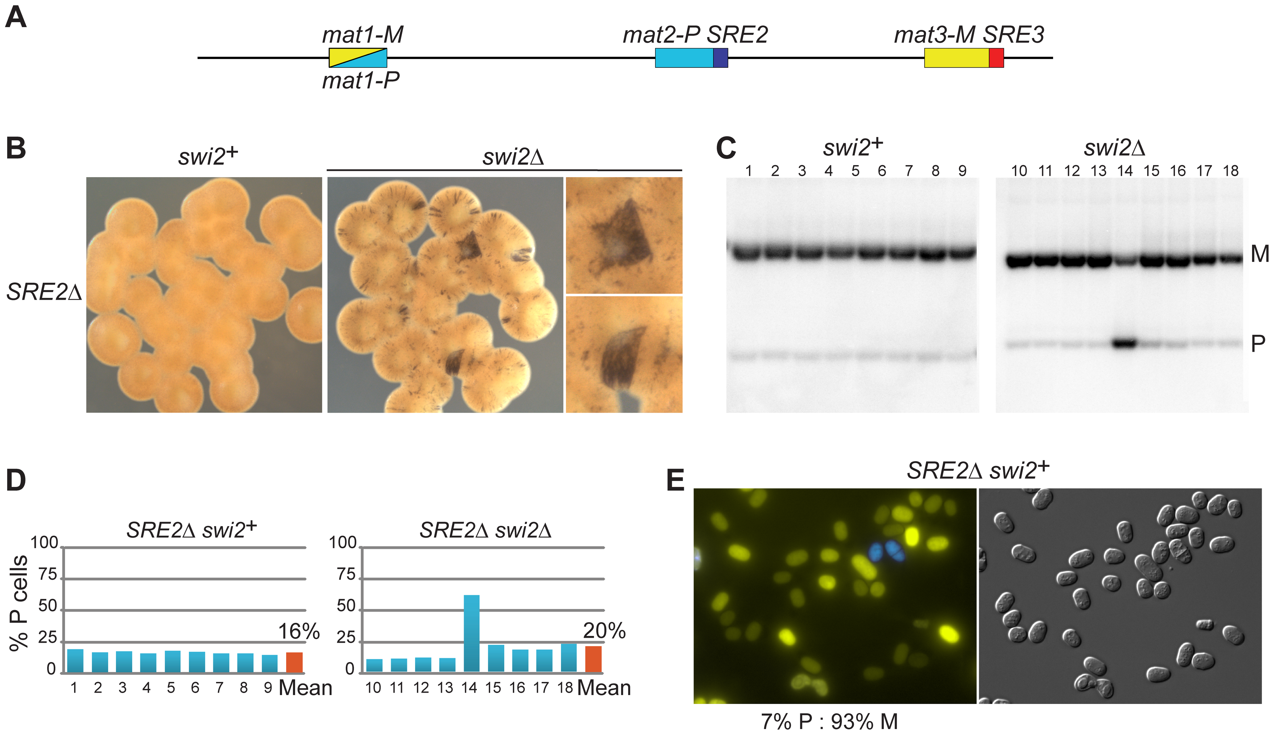 Deletion of SRE2 reduces use of <i>mat2-P</i>.