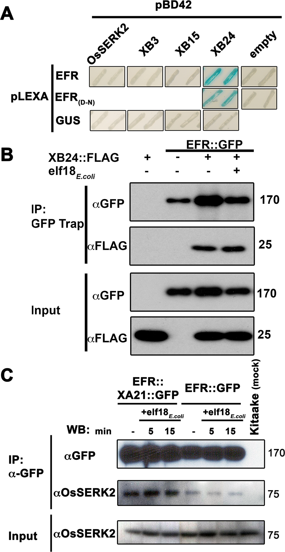 EFR interacts with the XA21-signaling components XB24 and OsSERK2.