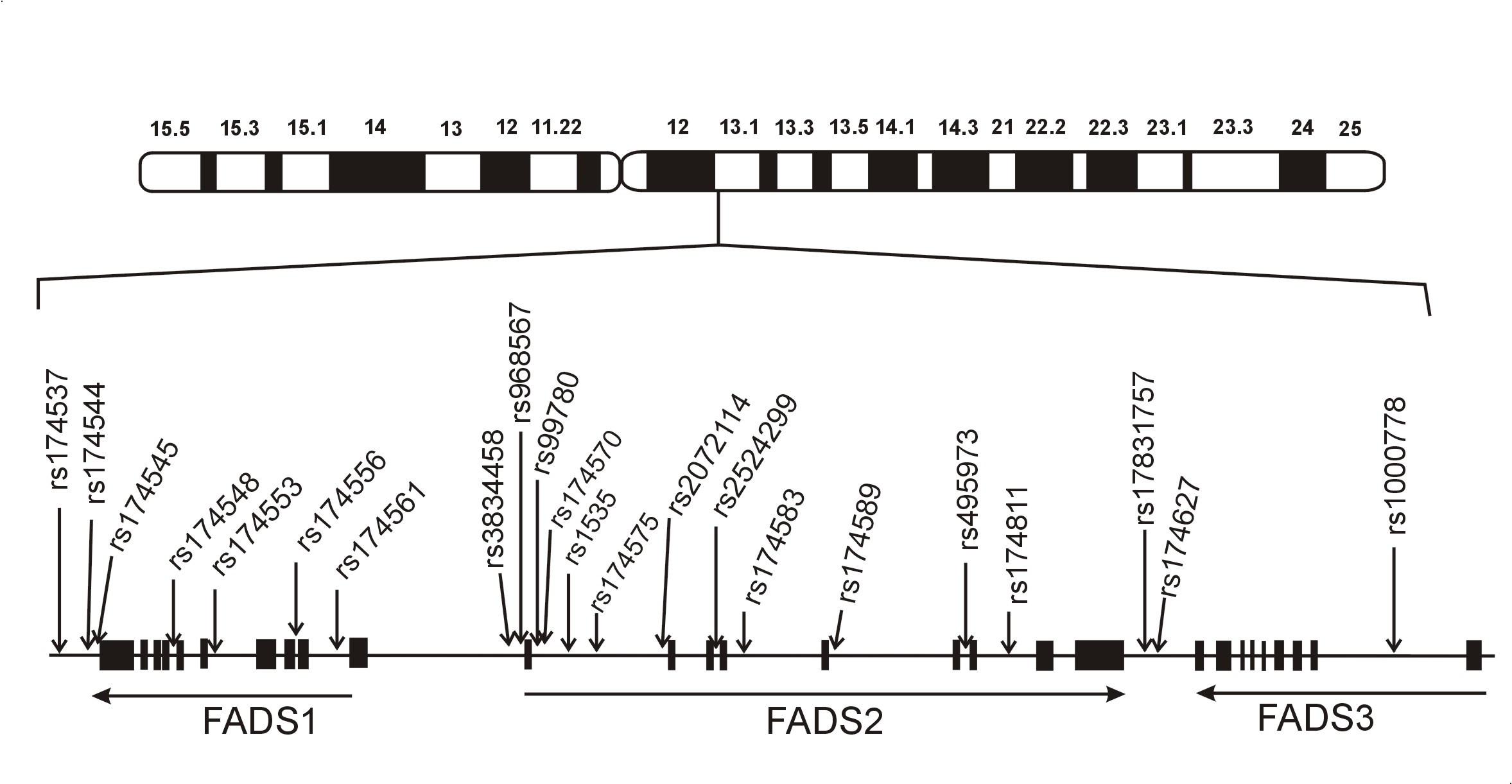 Schéma genového clusteru desaturáz mastných kyselin a klinicky relevantních polymorfismů. Obrázek znázorňuje lidský cluster genůFADSs umístěním některých studovaných polymorfismů, které jsou asociovány s hladinami mastných kyselin a fosfolipidů (volně podle 7).
