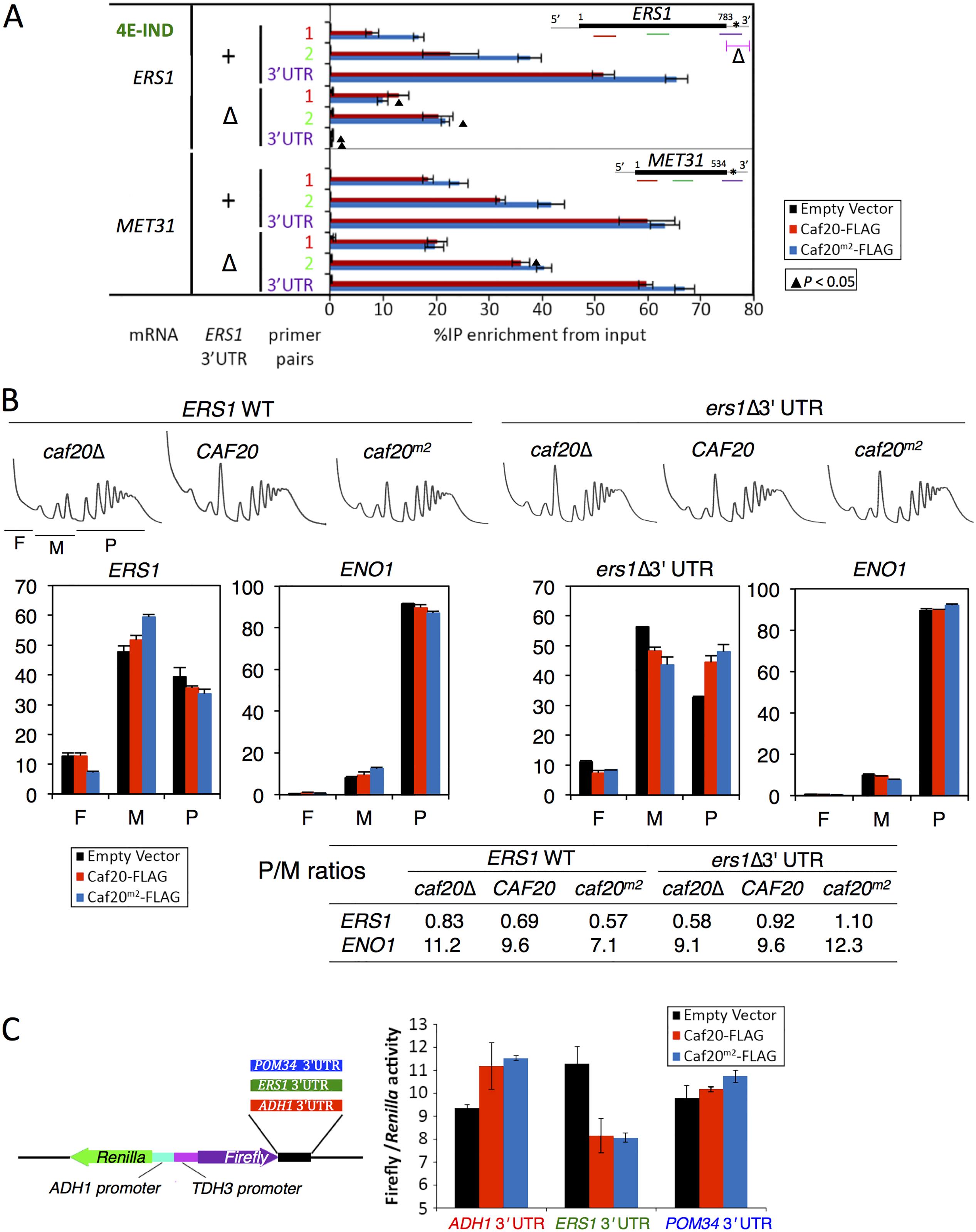 Caf20p and <i>ERS1</i> 3'UTR contribute to the translational repression of <i>ERS1</i>.