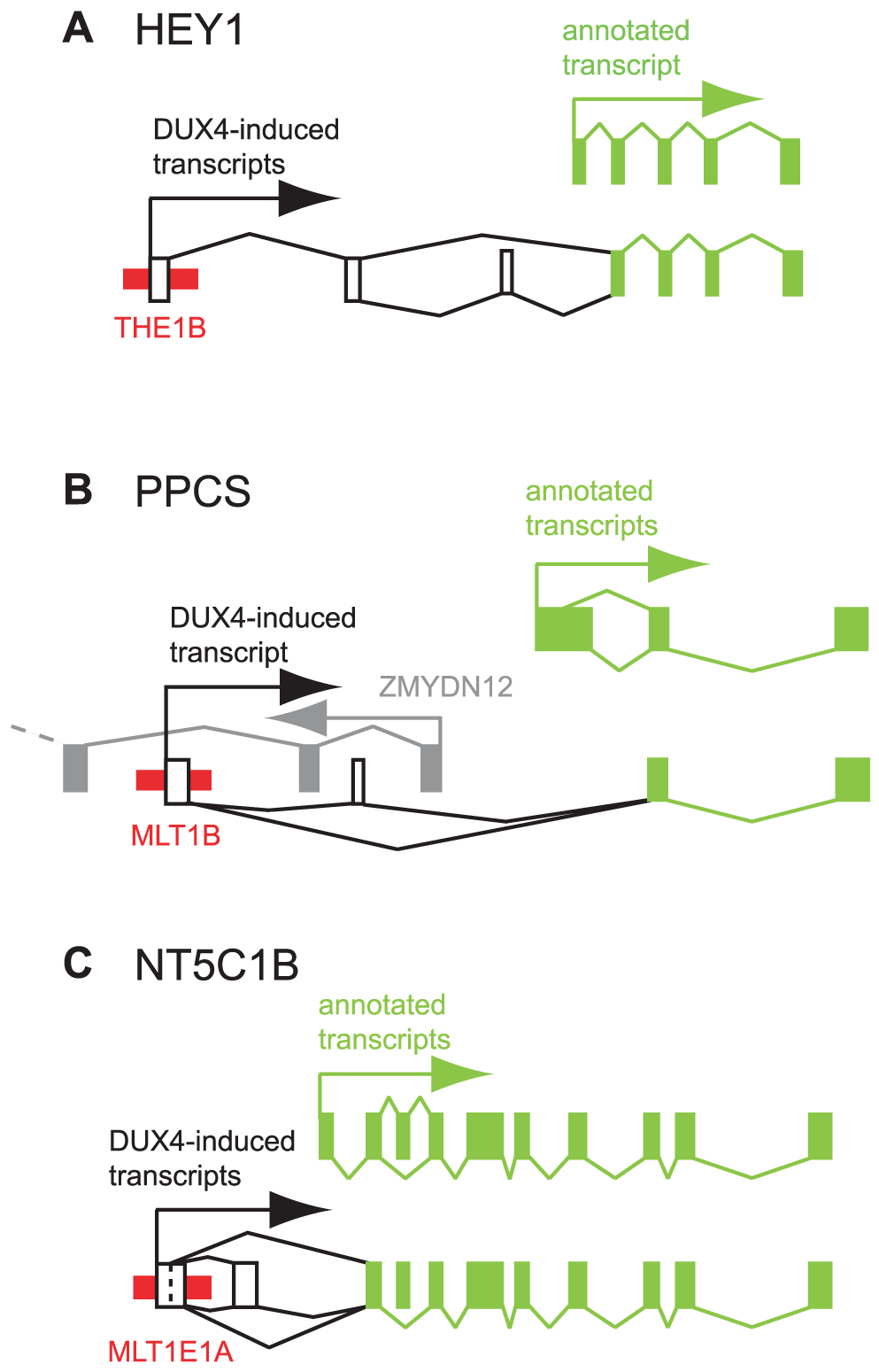 Examples of DUX4-bound repeats that function as alternative promoters for annotated genes.