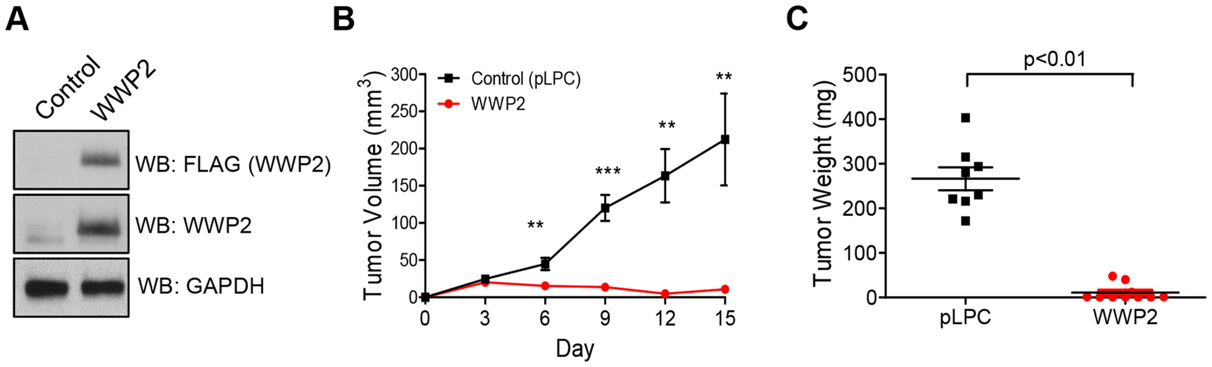 WWP2 suppresses tumor development of ovarian cancer cells.