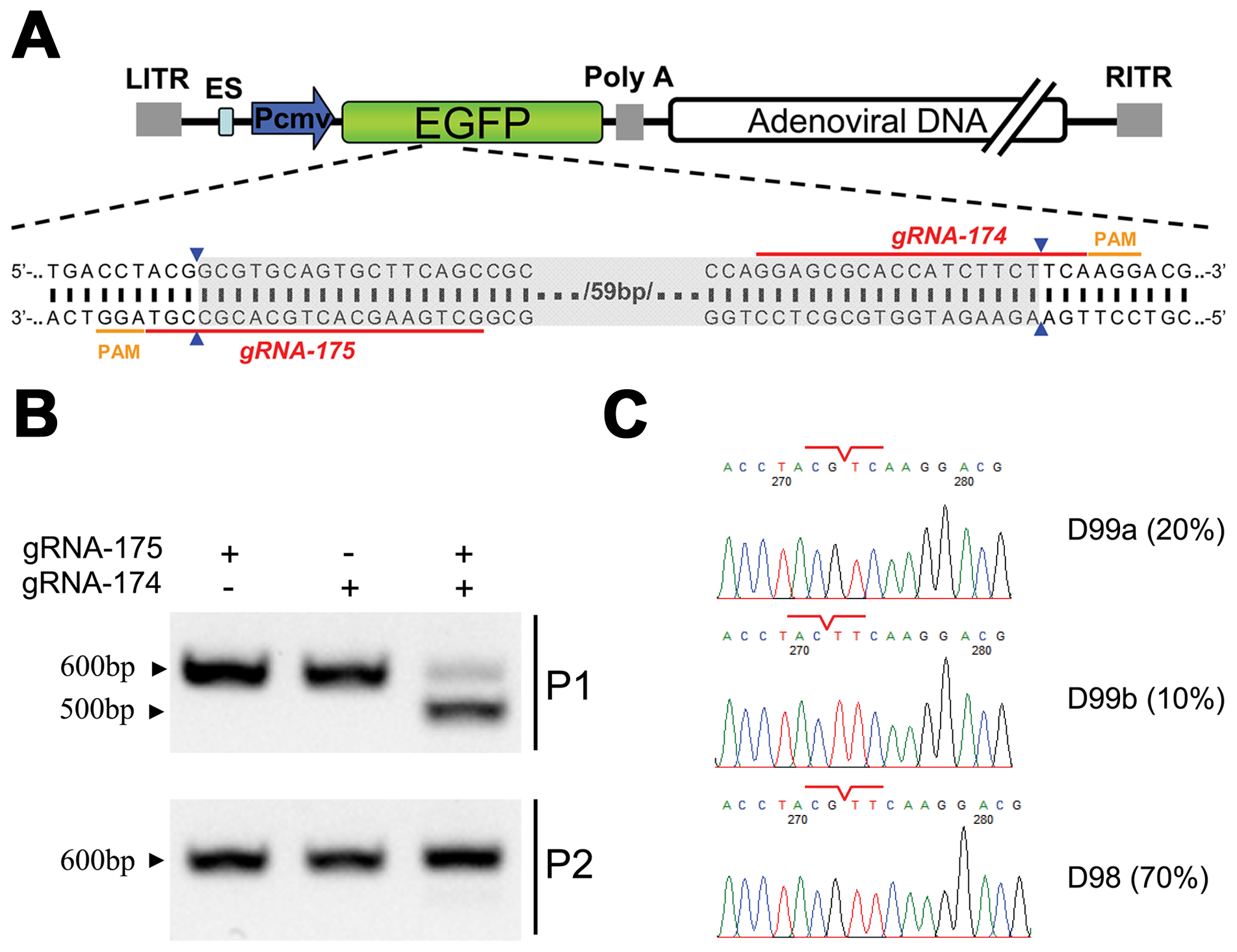 Cas9-targeted double genomic loci in recombinant adenoviral genomes.