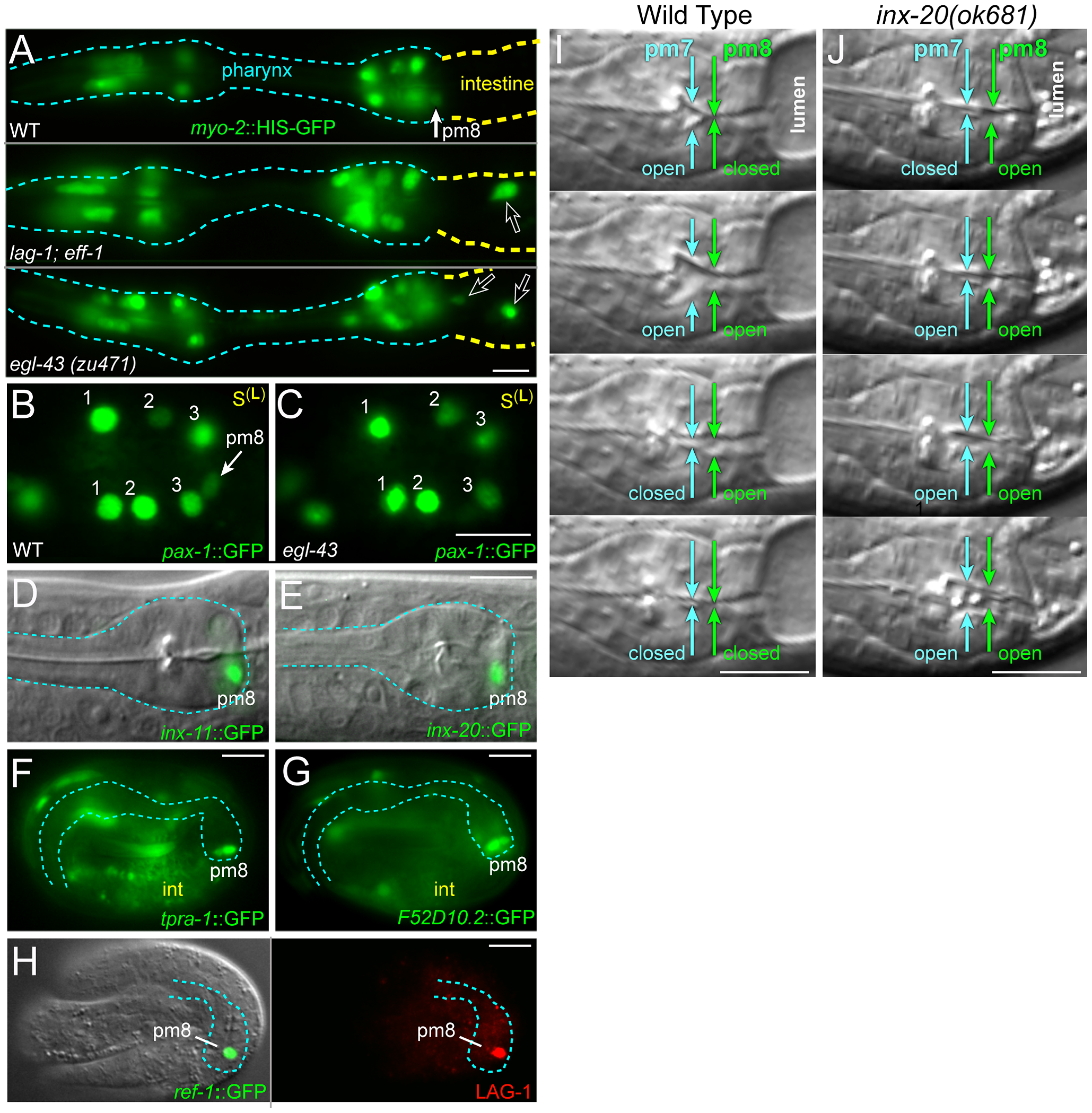 Notch-related valve defects and target gene expression.