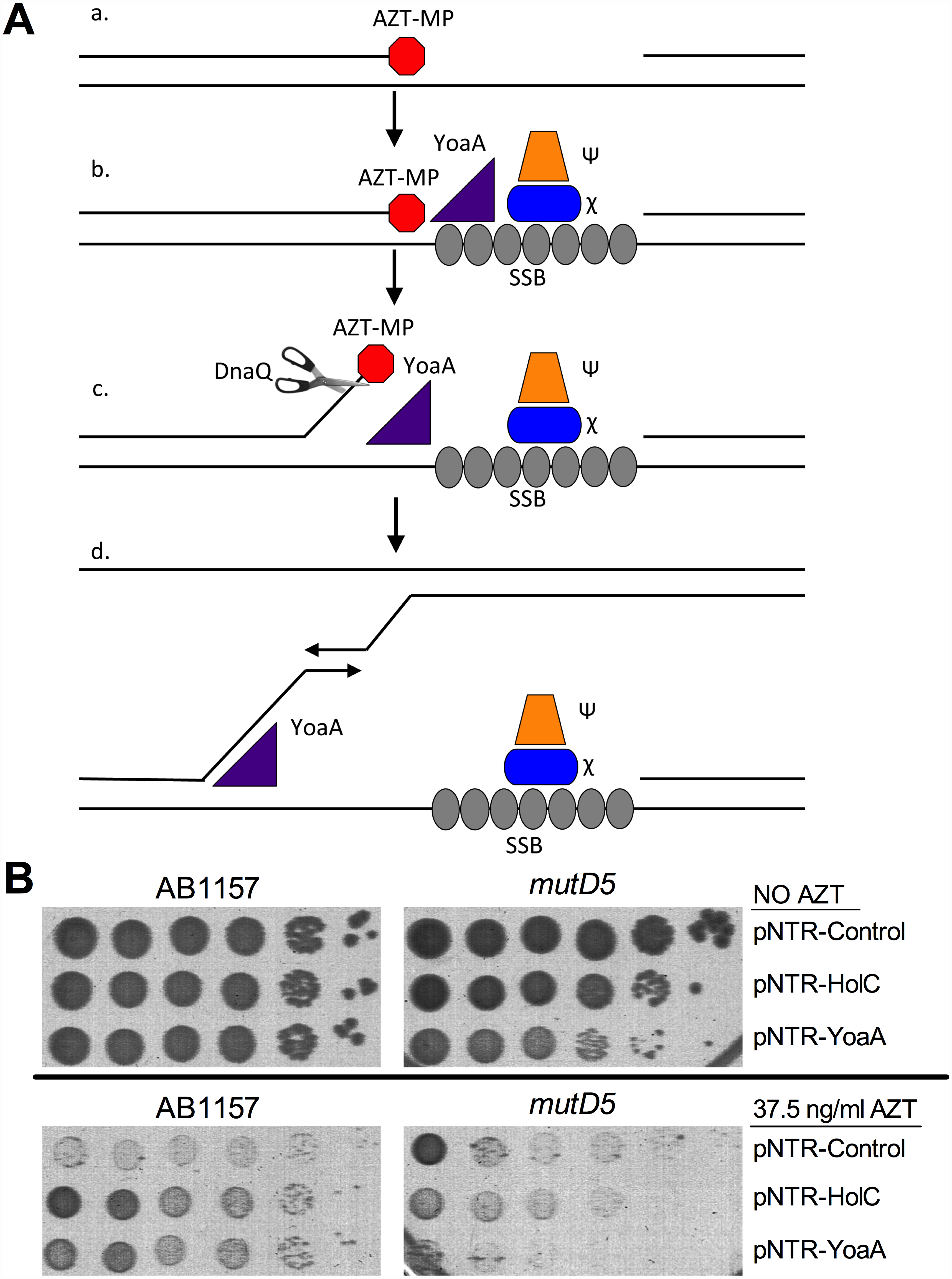 Model for the role of YoaA, x (HolC) and ε (DnaQ) in AZT tolerance.
