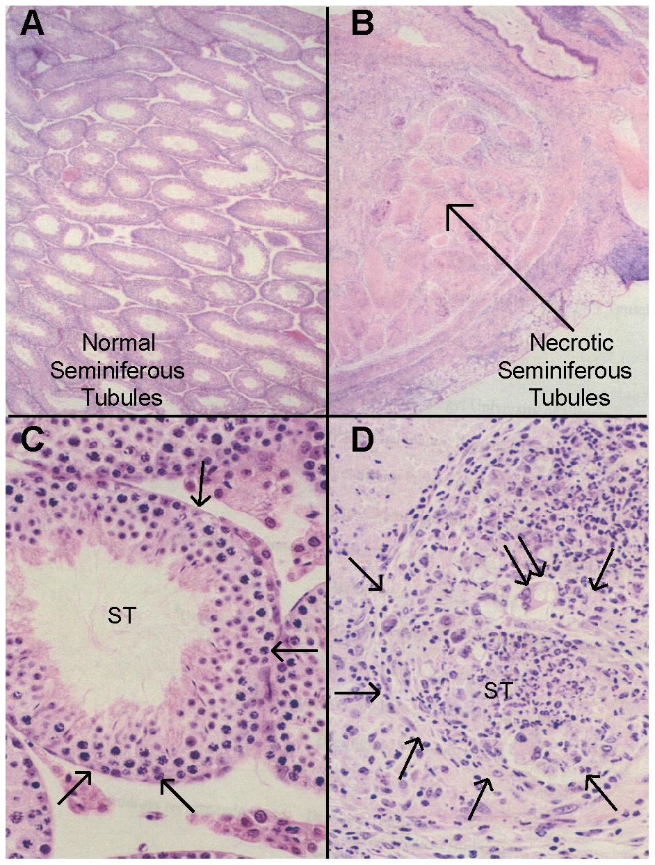 Histopathology of autoimmune orchitis.