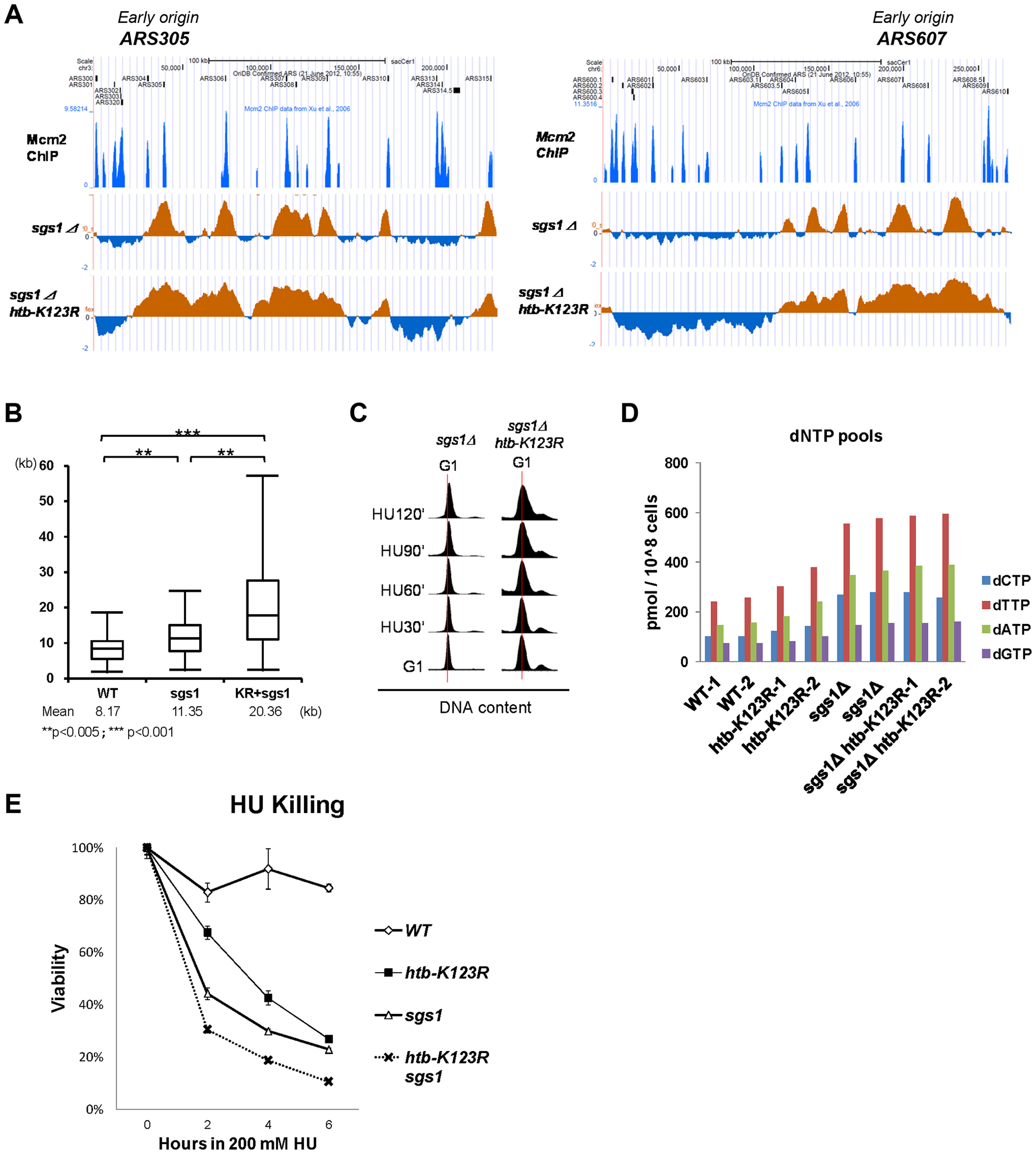 H2Bub and Sgs1 cooperatively control replication fork stalling and stability under HU.