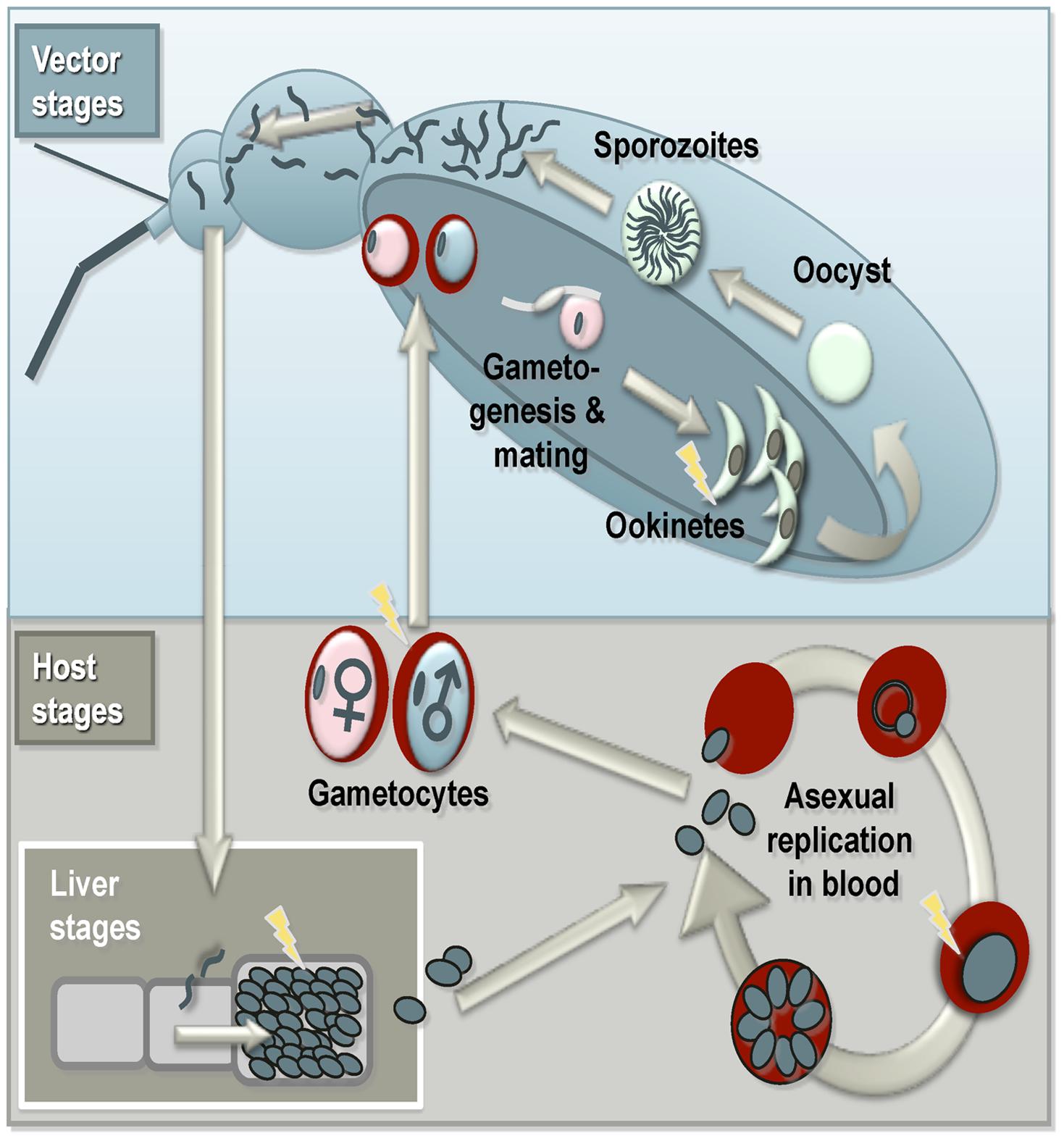 Summary of the malaria life cycle and apoptosis.