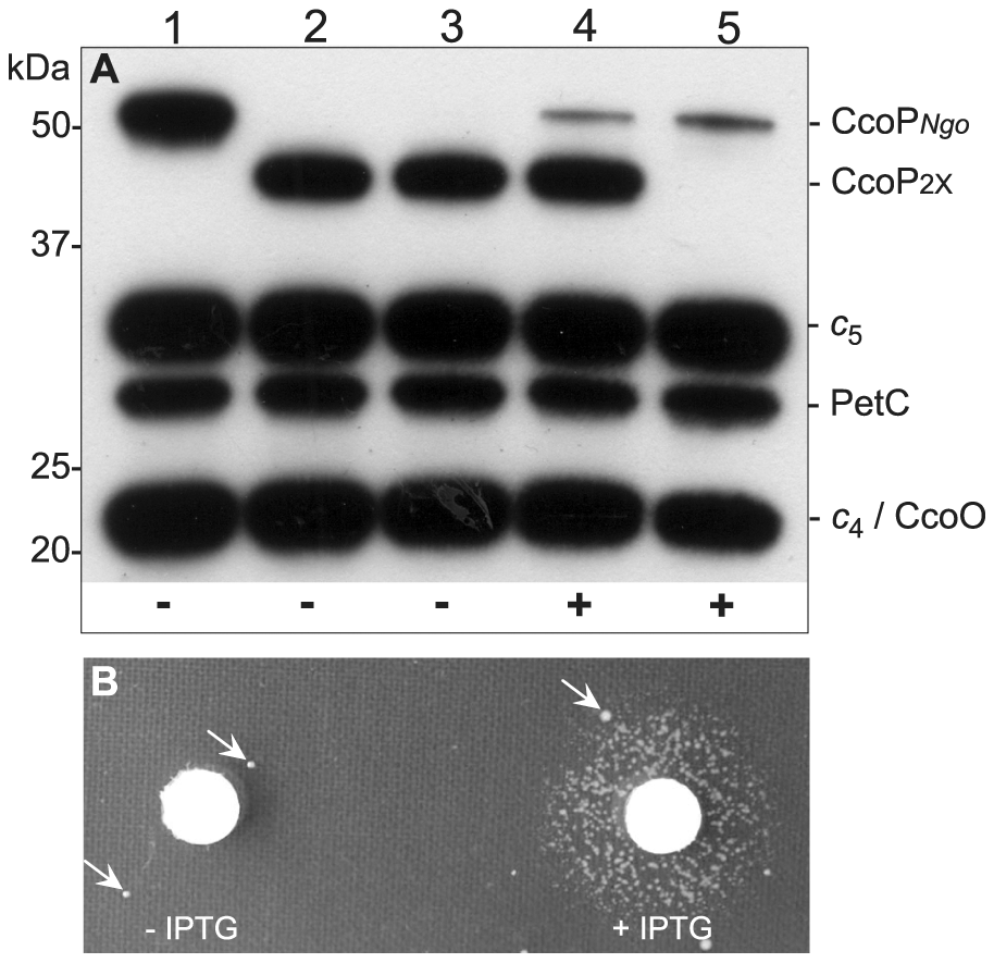 Conditional expression of CcoP confirms its essential role in growth.