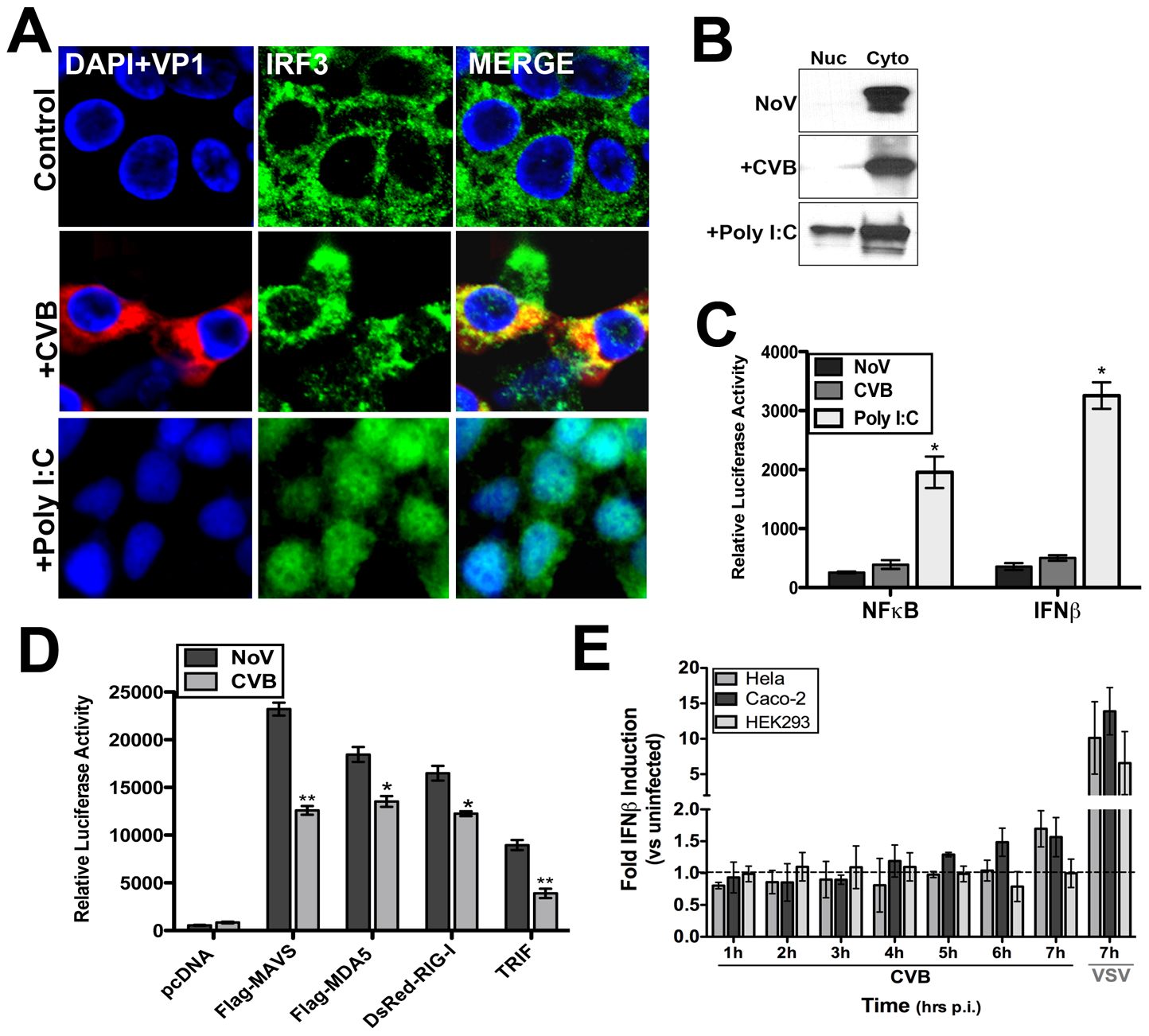 CVB3 infection does not induce significant type I IFN responses.