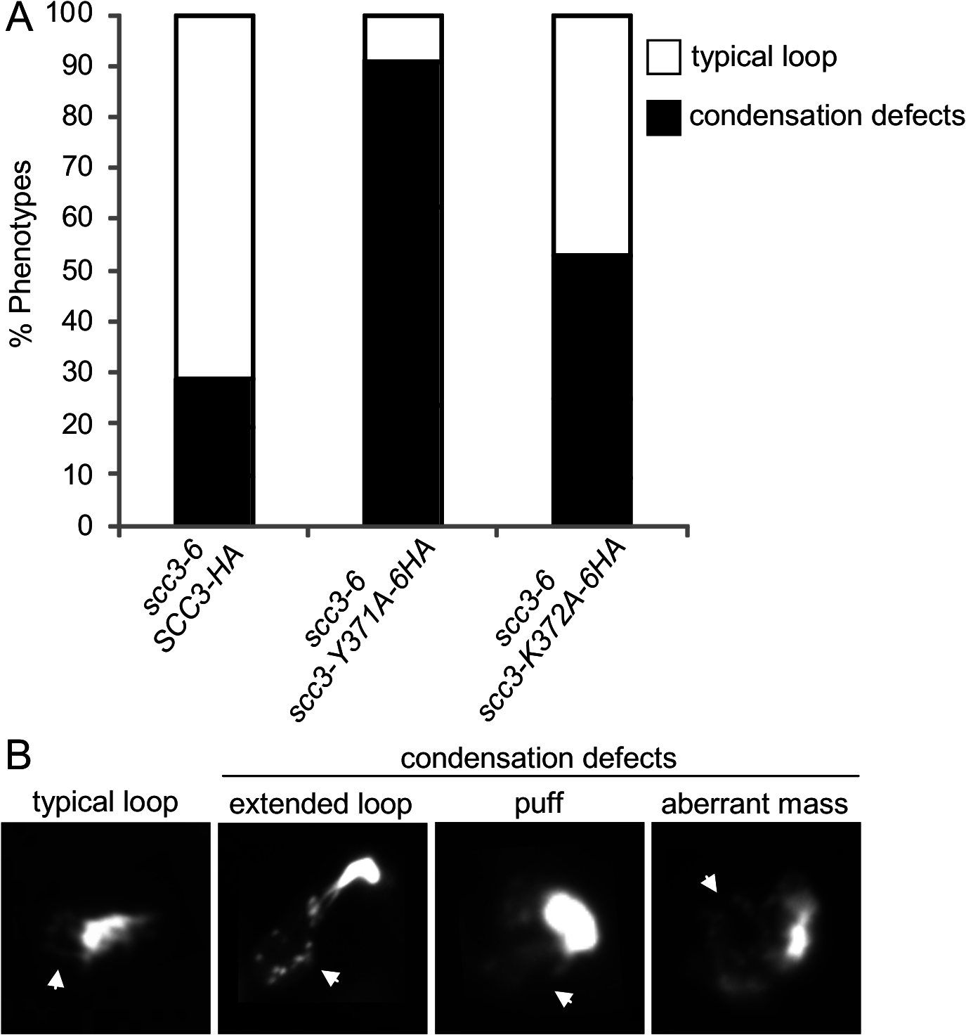 Analysis of chromosome condensation in Scc3 point mutants.