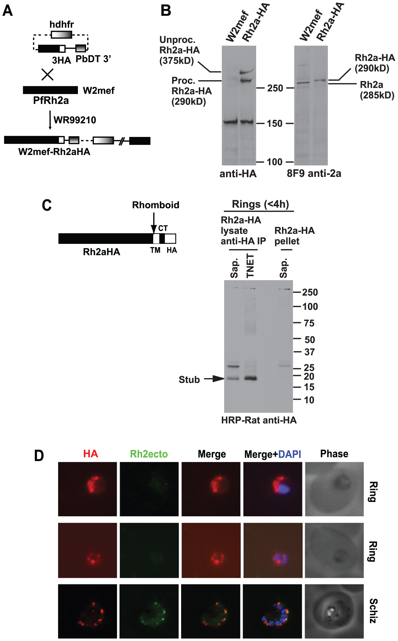 C-terminal tagging of the PfRh2a protein in <i>P. falciparum</i> by transfection.
