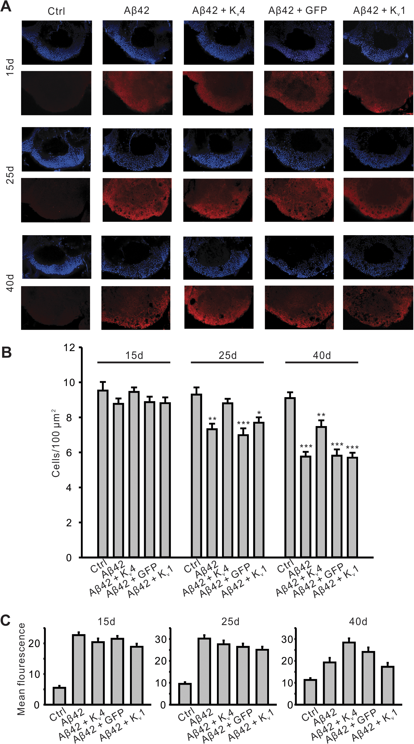 Pan-neuronal expression of K<sub>v</sub>4 slows the onset and severity of Aβ42-induced neurodegeneration.