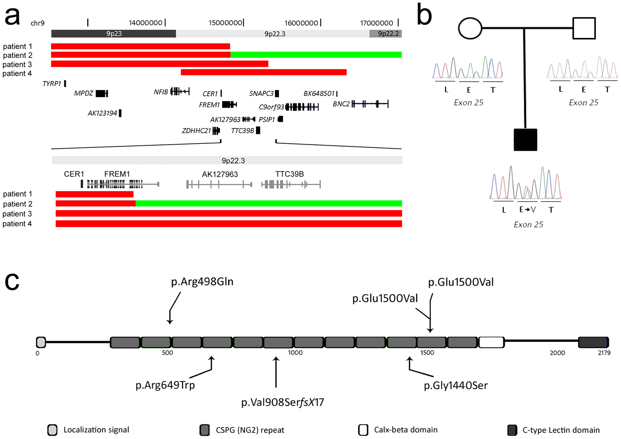 Schematic overview of CNVs and mutations affecting the <i>FREM1</i> gene.