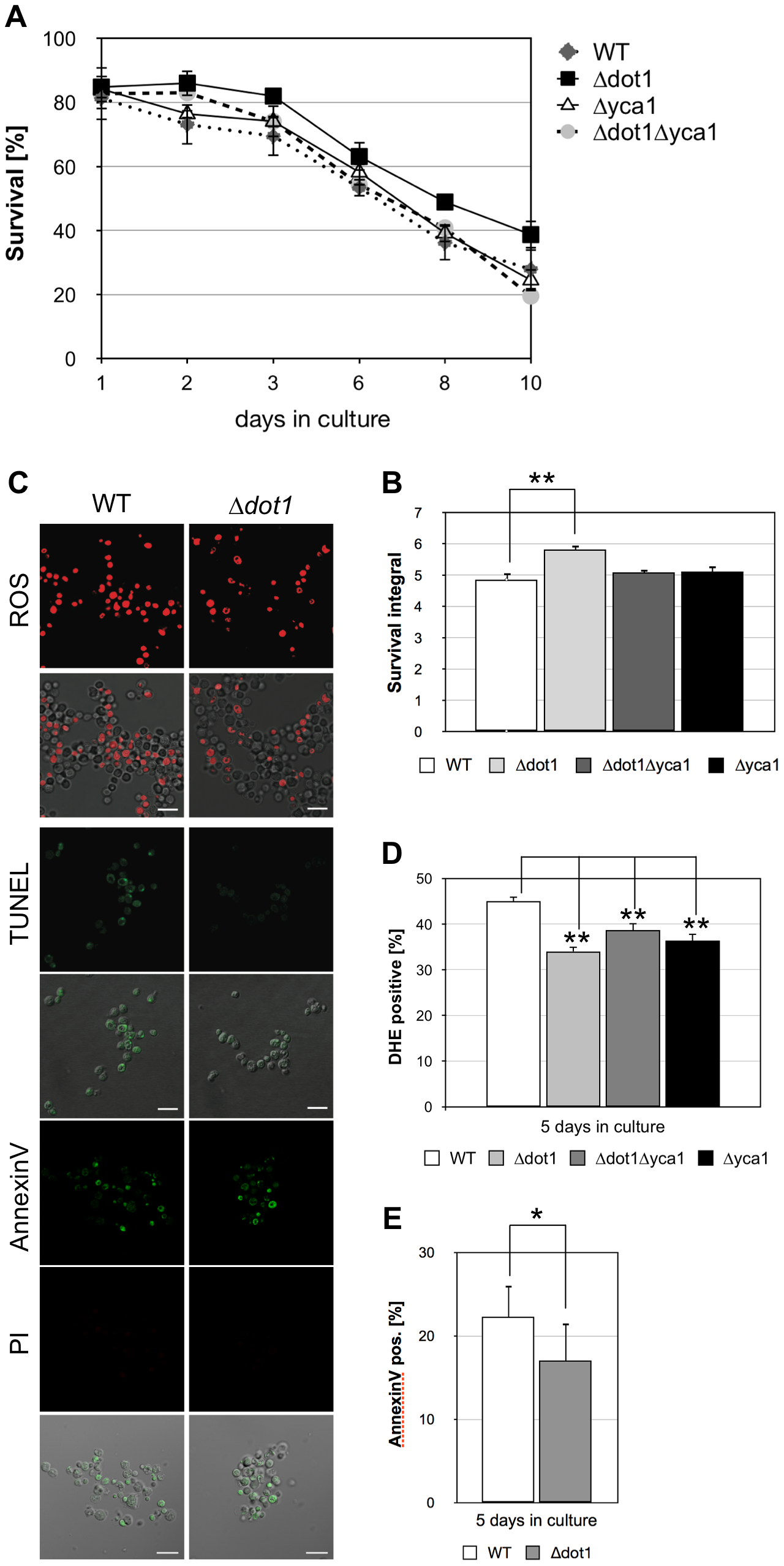 <i>DOT1</i> disruption positively influences Yca1p-dependent cell death.