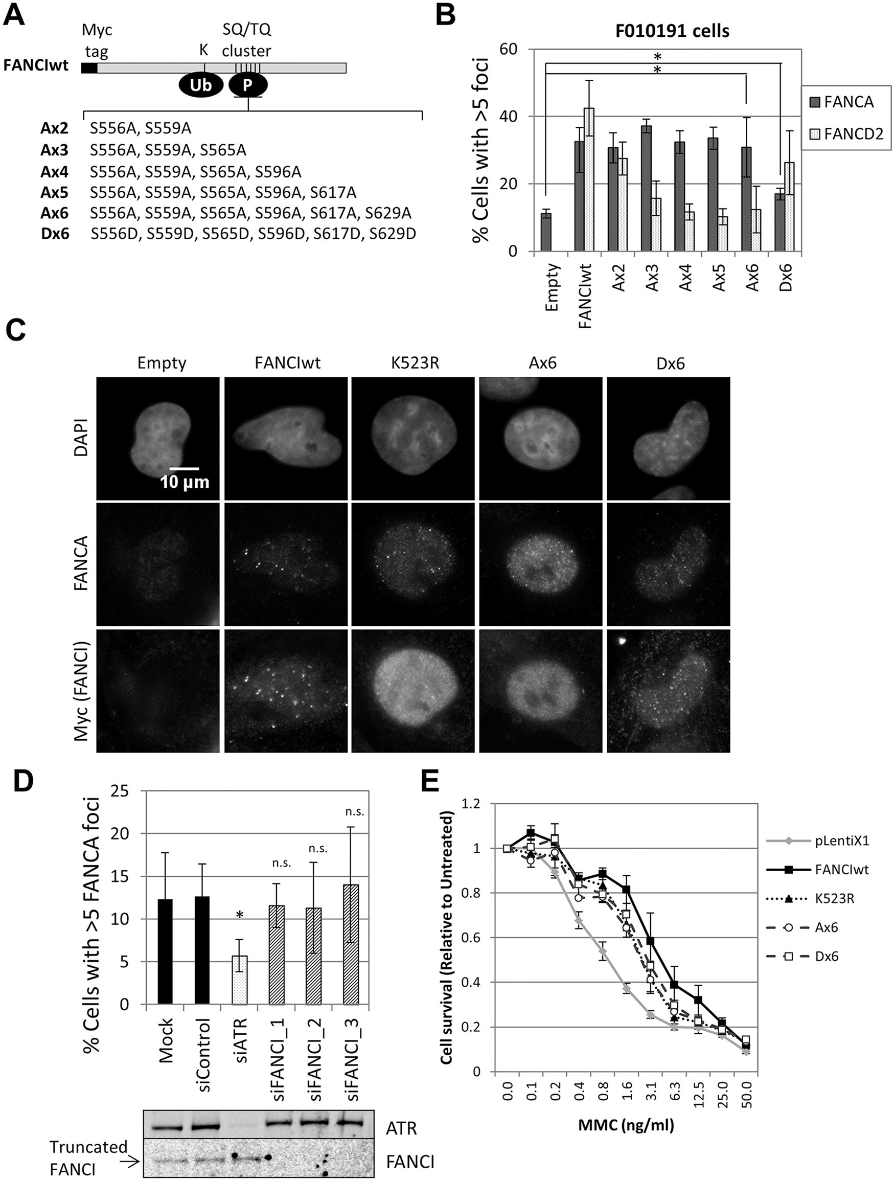FANCI phosphorylation is not required for FA core complex foci formation.