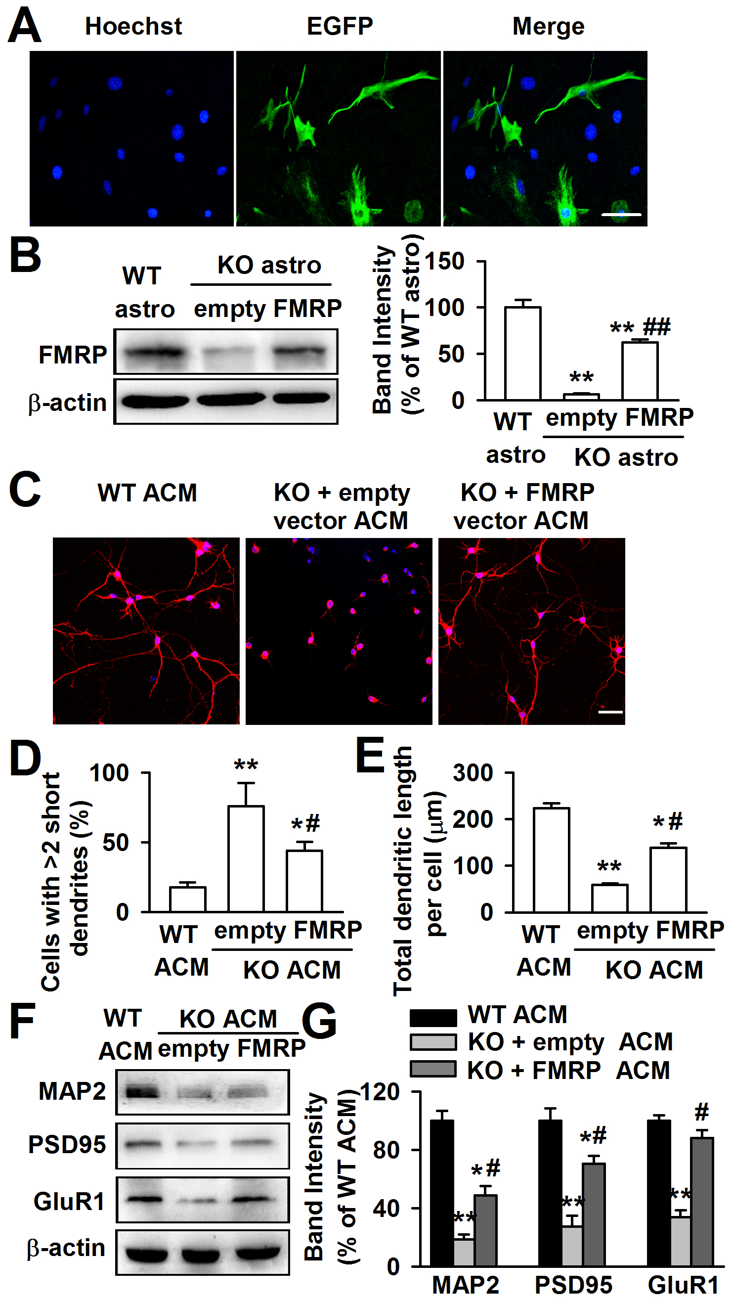 Expression of FMRP reversed neuronal growth in <i>Fmr1</i> KO ACM.