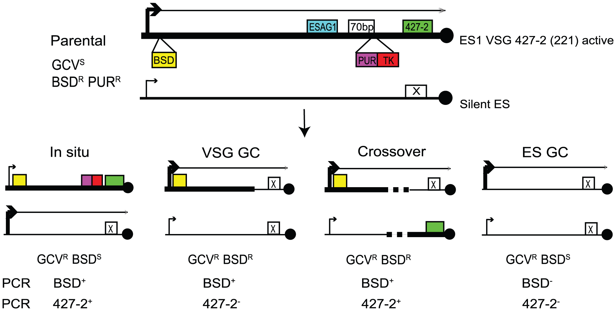 Strategies to determine the frequency and mechanisms of <i>VSG</i> switching.